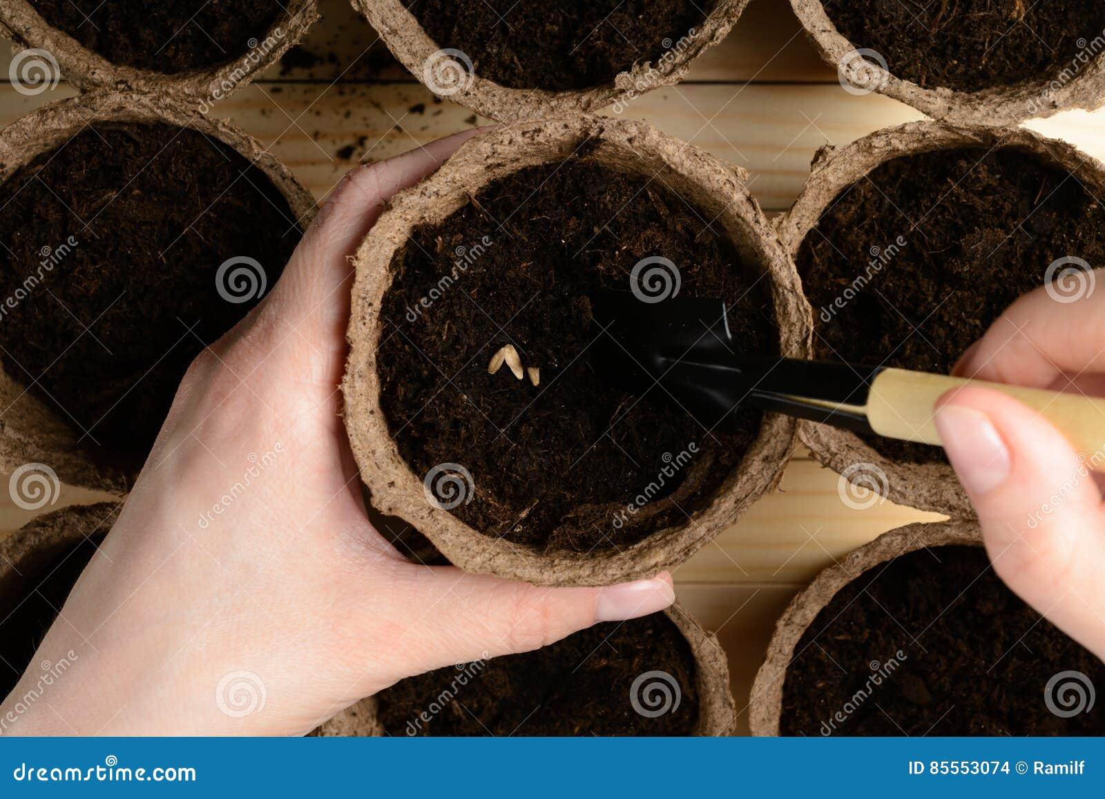 Weibliche Hände, die Samen in einem Torftopf pflanzen