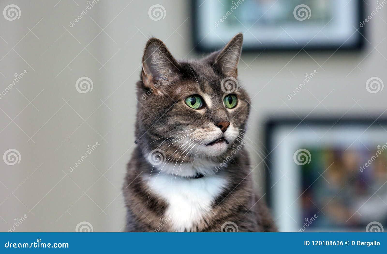 Weibliche Katze der schönen grün-blauen Augen, hypoallergenic Katze Tier, das Haustier durch Leute sein kann, die zu den Katzen a