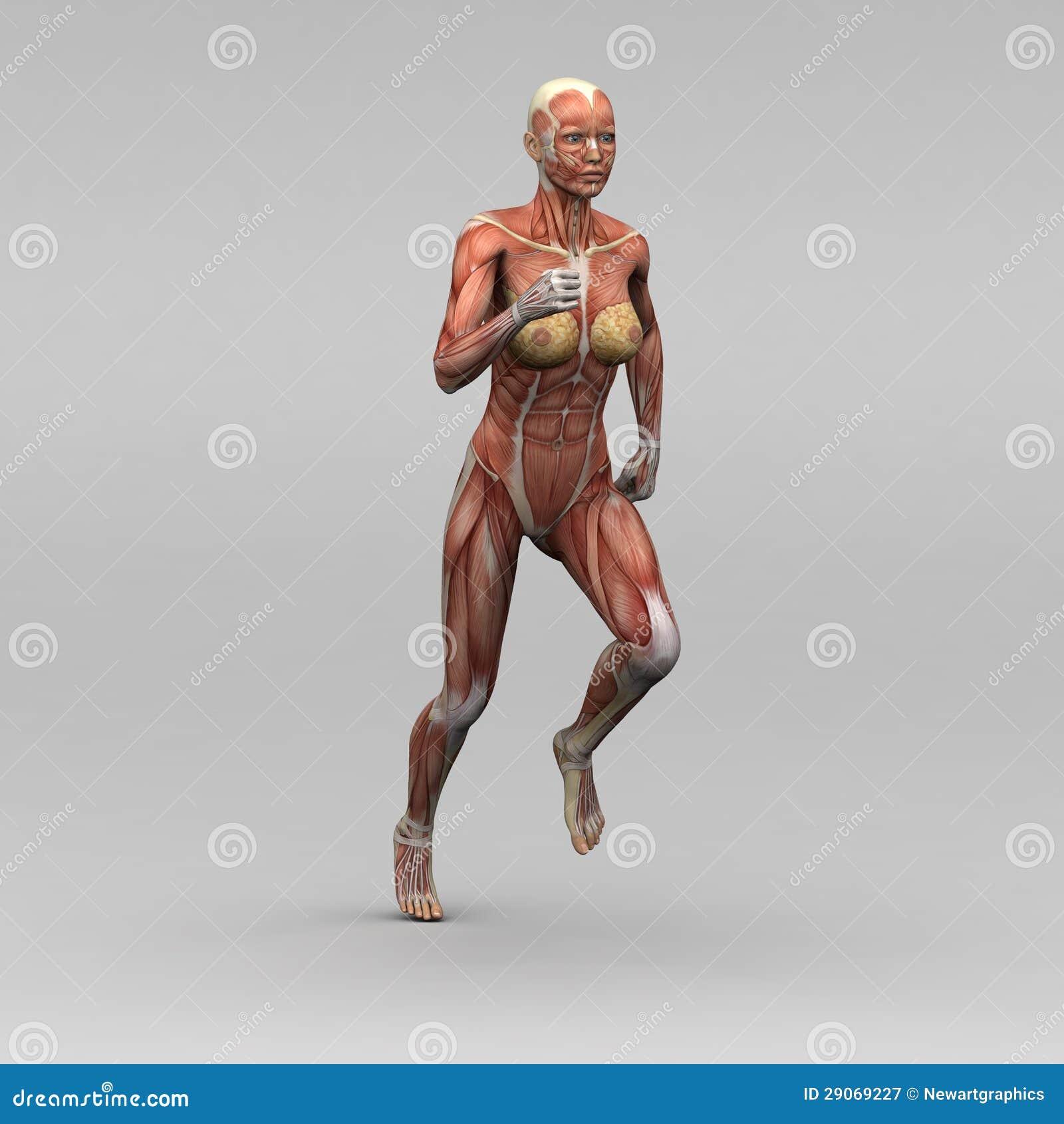 Weibliche Menschliche Anatomie Und Muskeln Stock Abbildung