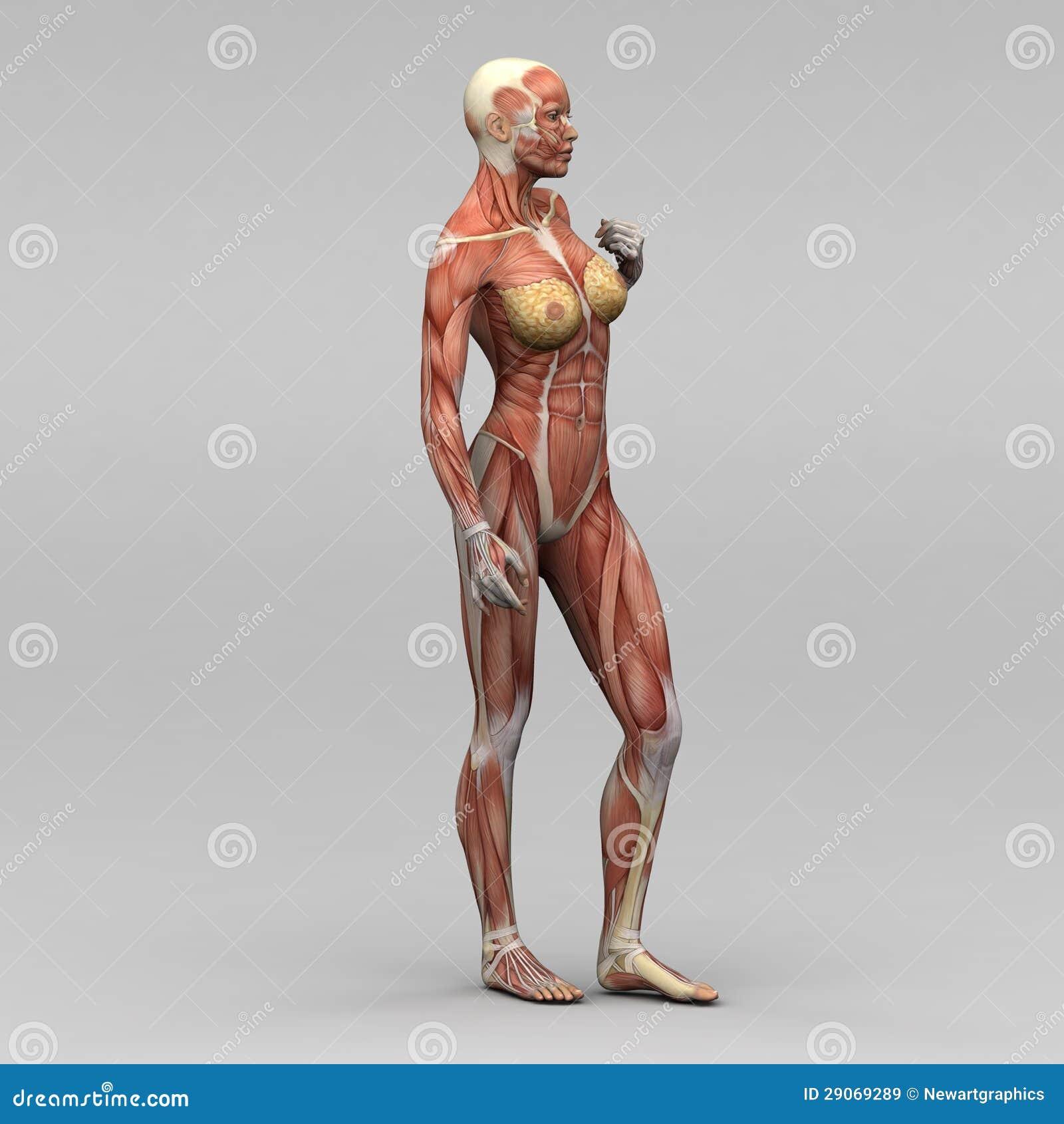 Menschliche Anatomie - Männliche Muskeln Stock Abbildung ...