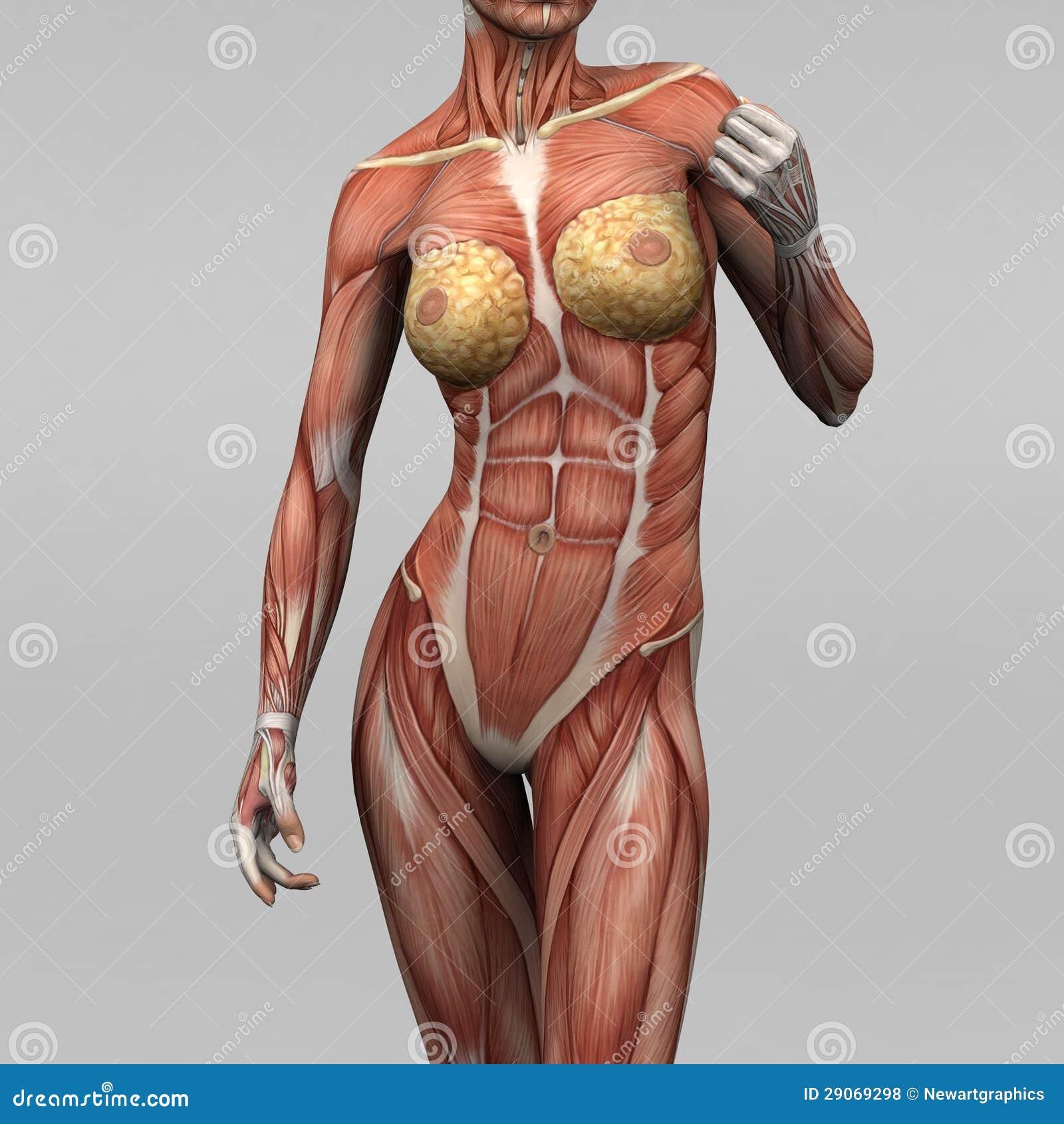 Menschliche Anatomie - Weibliche Muskeln Stock Abbildung ...