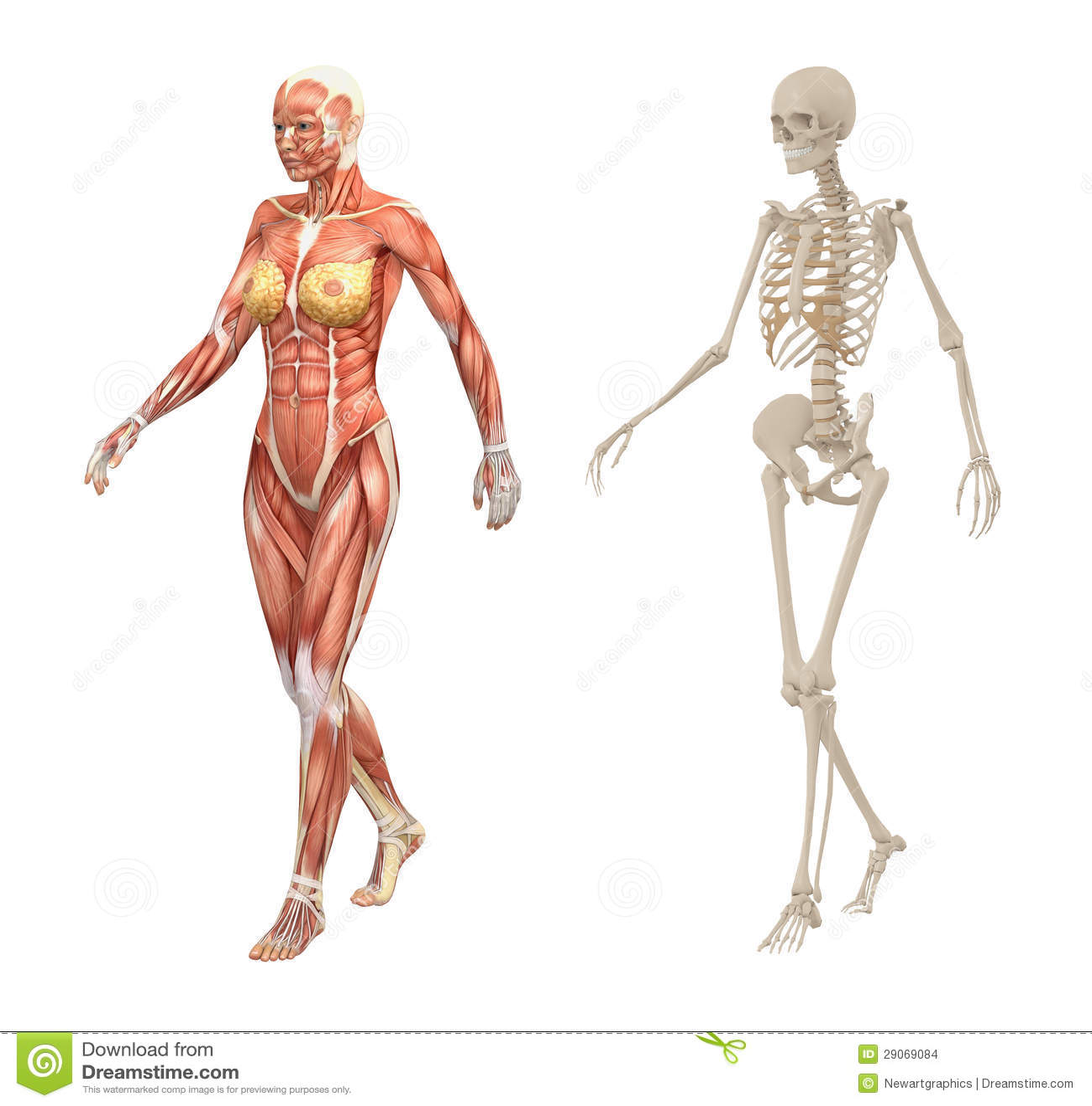 Tolle Weibliches Skelett Galerie - Menschliche Anatomie Bilder ...