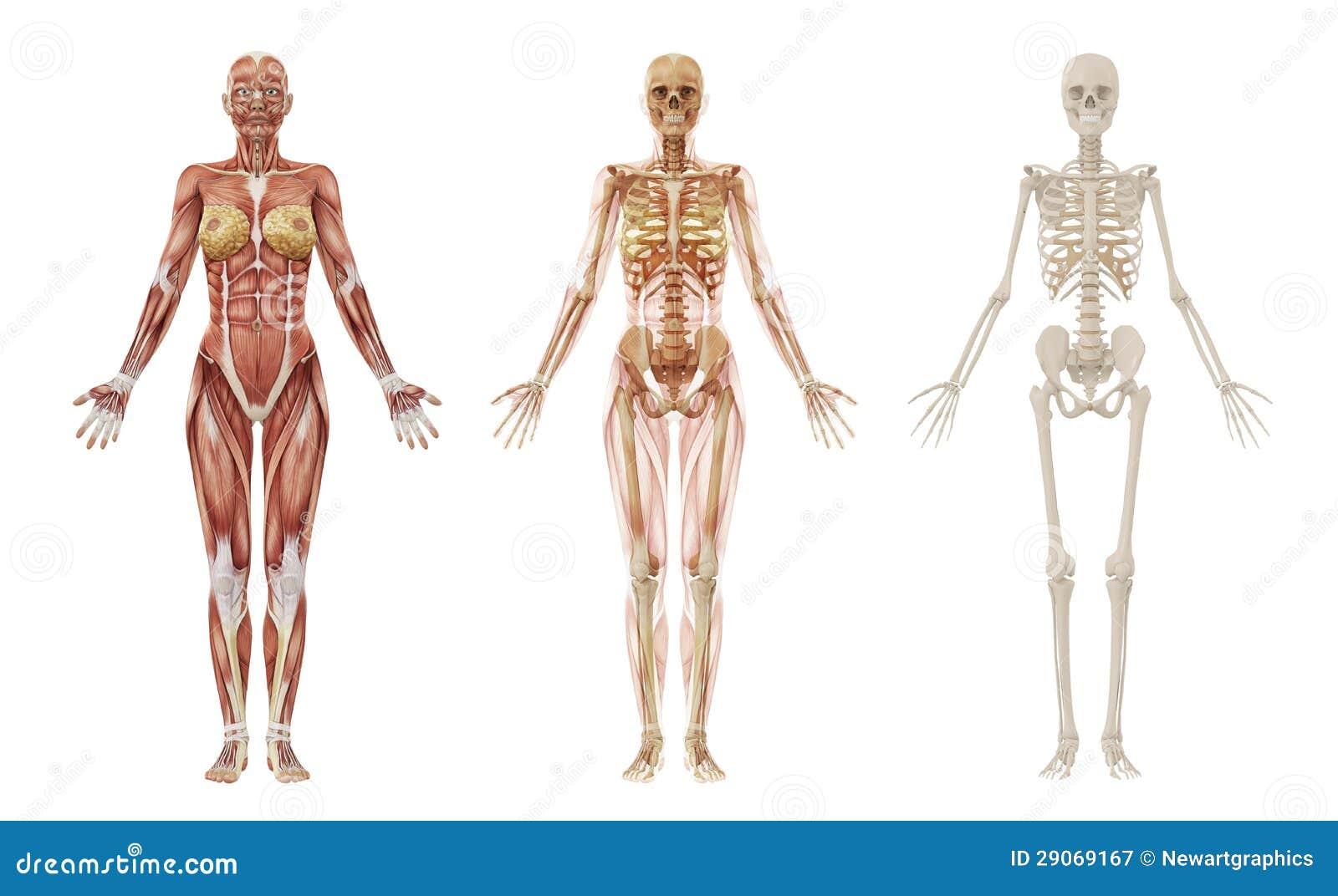Weibliche Menschliche Muskeln Und Skelett Stock Abbildung ...