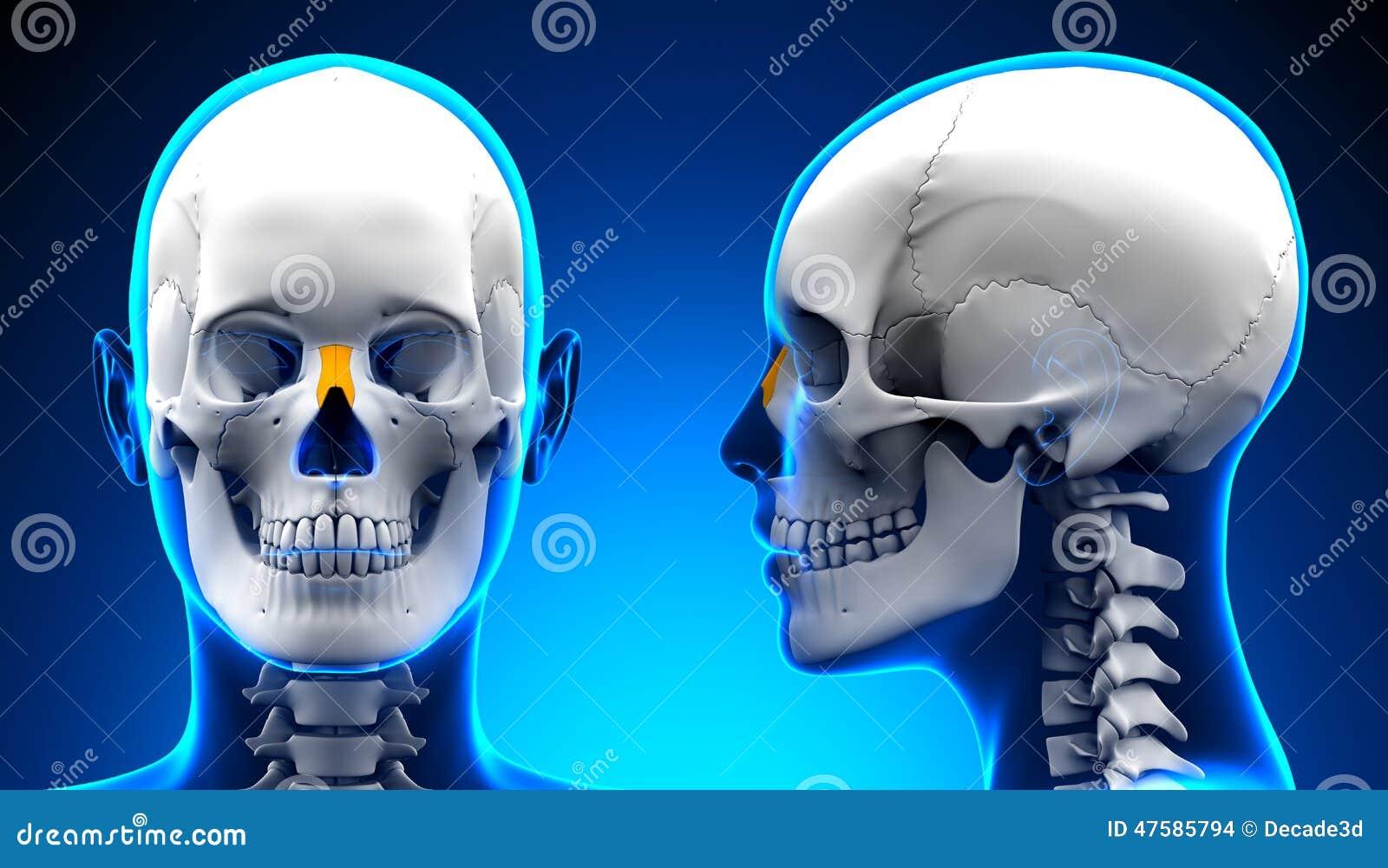 Weibliche Nasenbein-Schädel-Anatomie - Blaues Konzept Stock ...