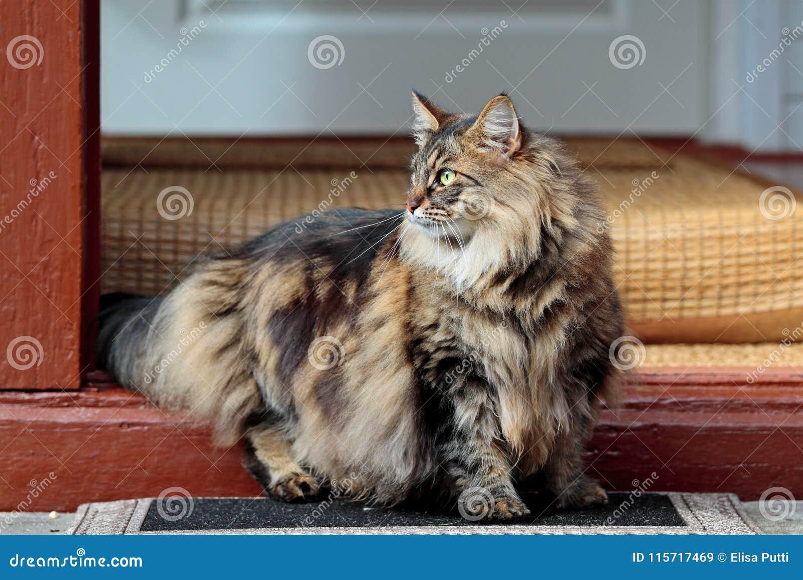 Weibliche Stellung der bewussten norwegischen Waldkatze auf Türstufe