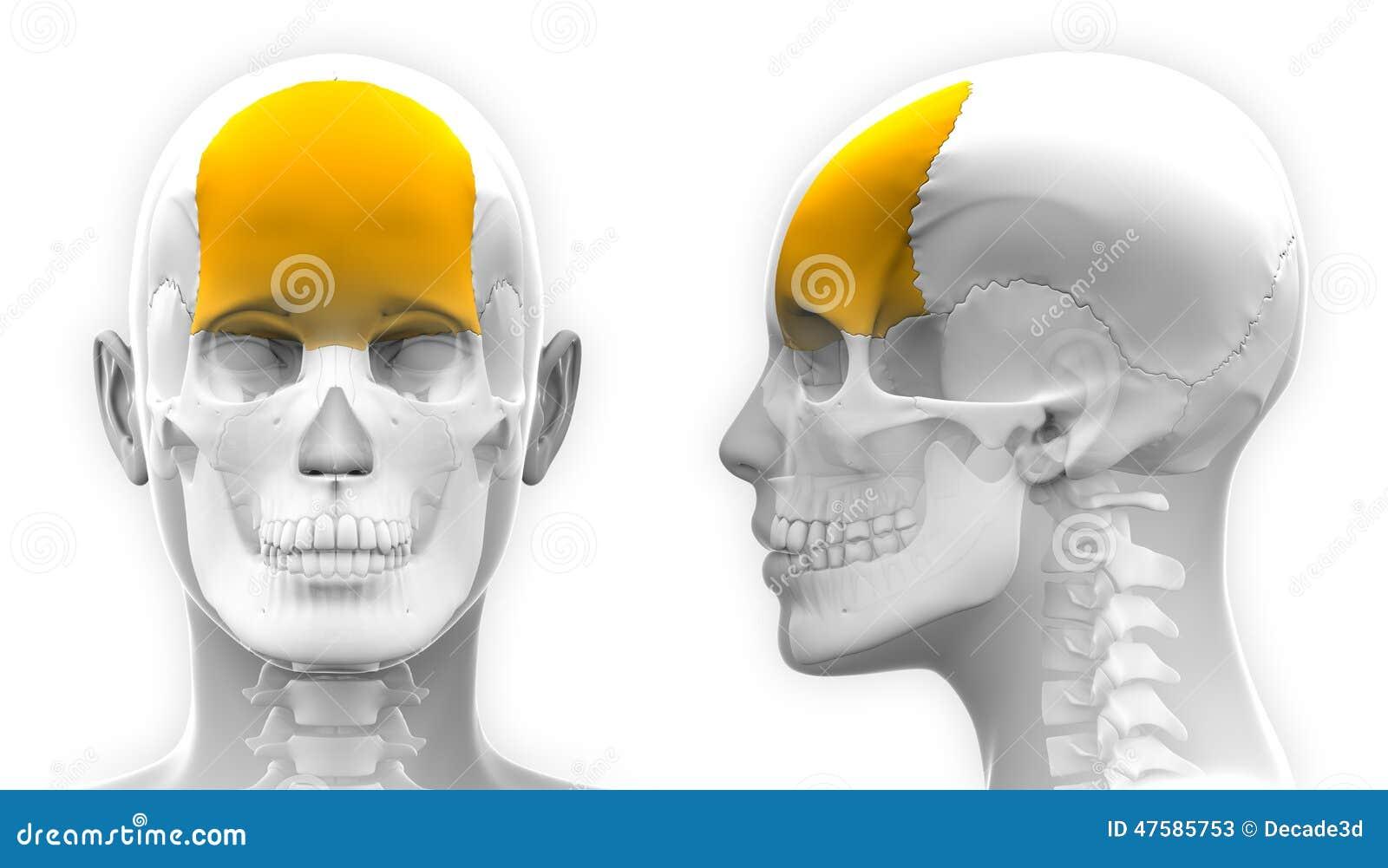 Weibliche Stirnbein-Schädel-Anatomie - Lokalisiert Auf Weiß Stock ...
