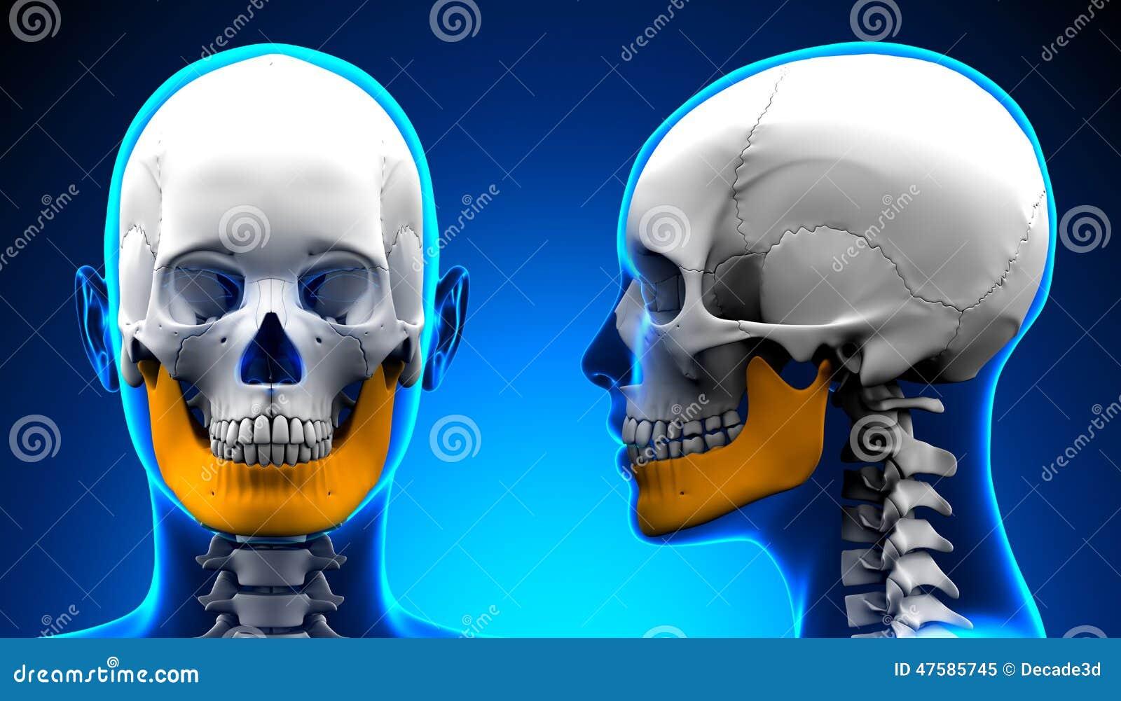 Weibliche Unterkiefer-Knochen-Schädel-Anatomie - Blaues Konzept ...