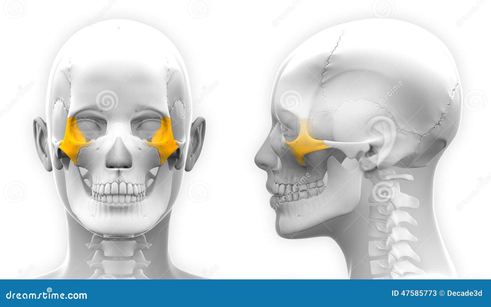 Weibliche Zygomatic Knochen-Schädel-Anatomie - Blaues Konzept Stock ...