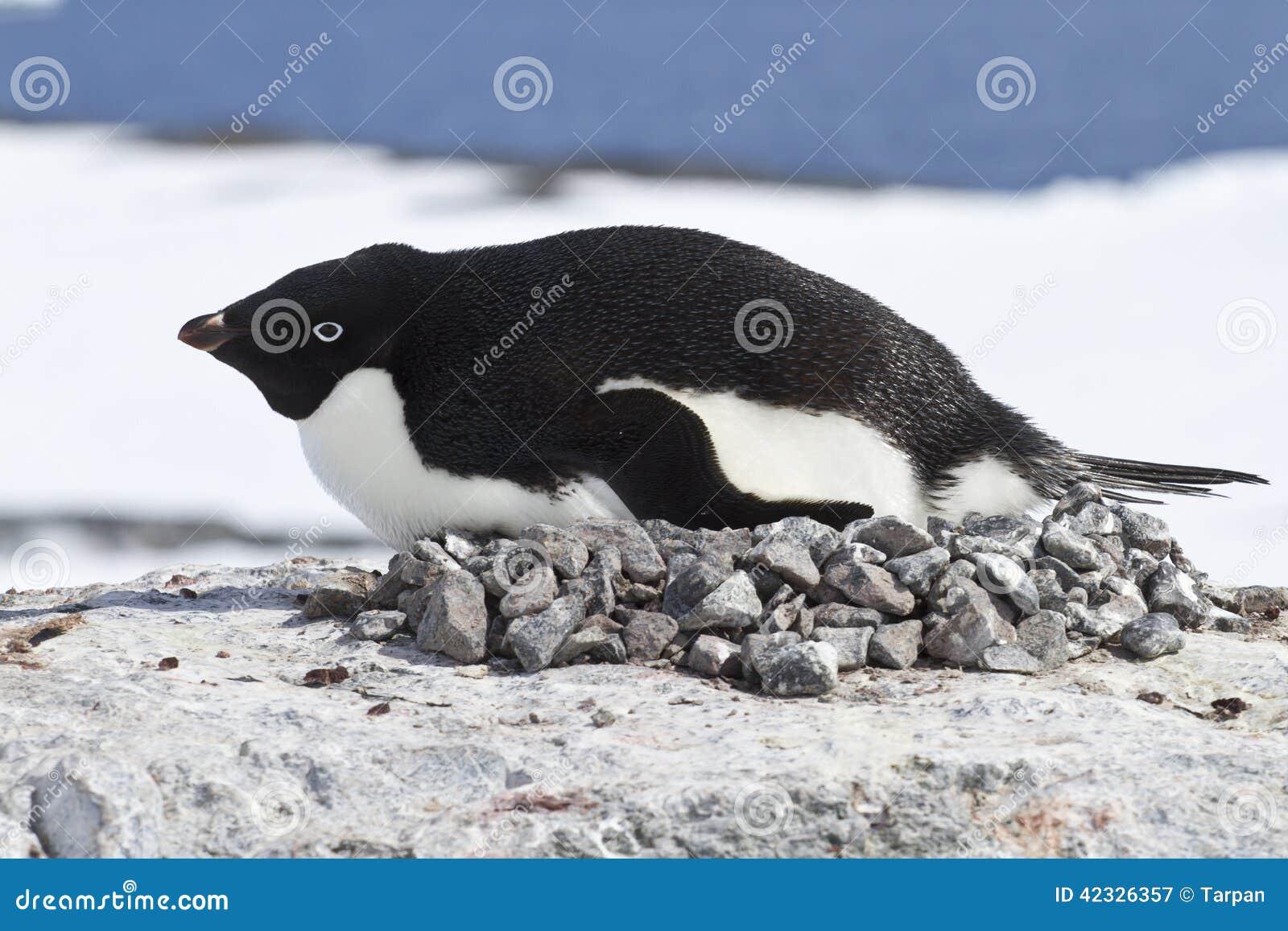 Weiblicher Adelie-Pinguin brüten im Nest auf der Klippe aus
