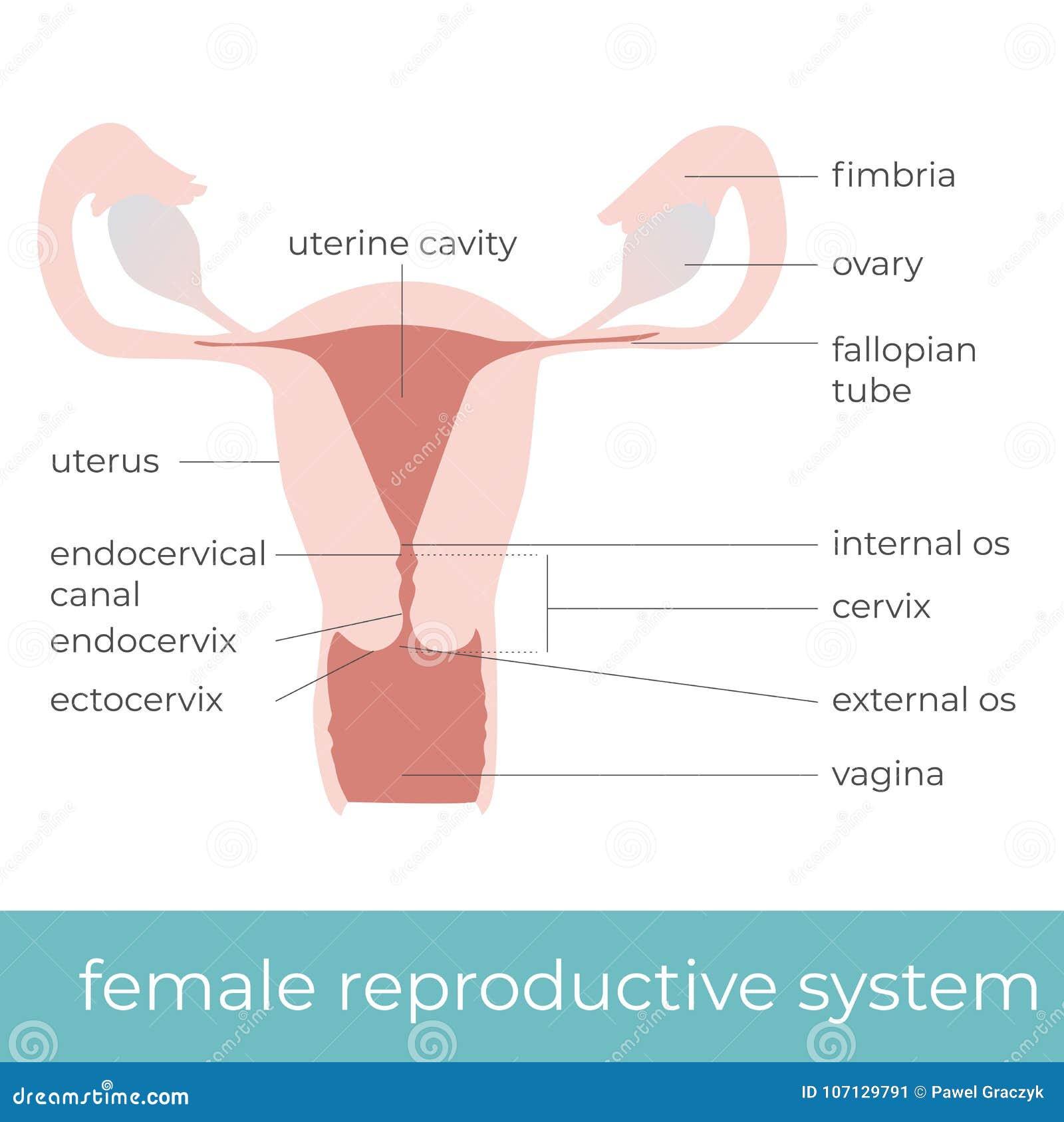 Ungewöhnlich Das Weibliche Fortpflanzungssystem Diagramm Markierten ...