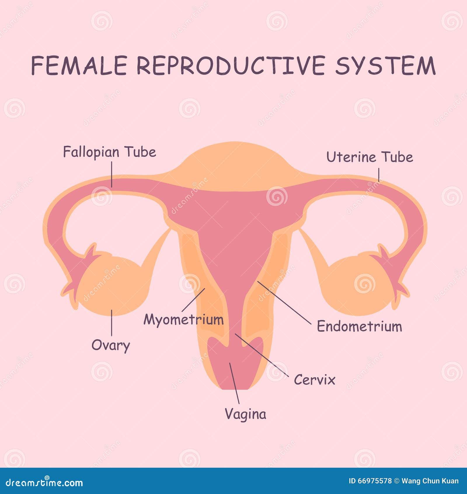 Niedlich Externe Weibliche Fortpflanzungssystem Diagramm Fotos ...