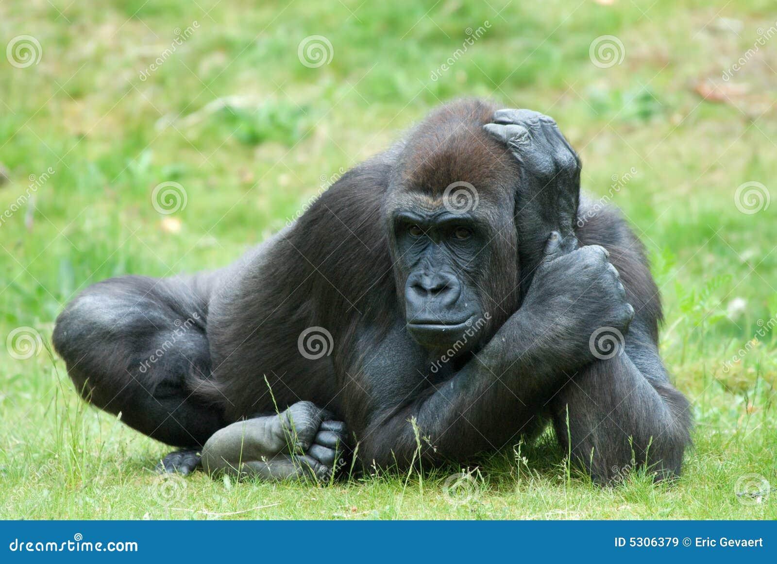Weiblicher Gorilla