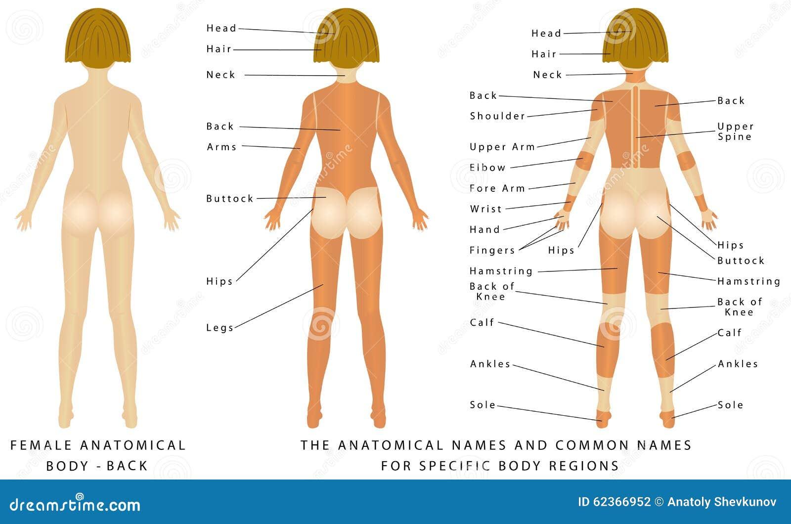 Weiblicher Körper - hinter vektor abbildung. Illustration von ...