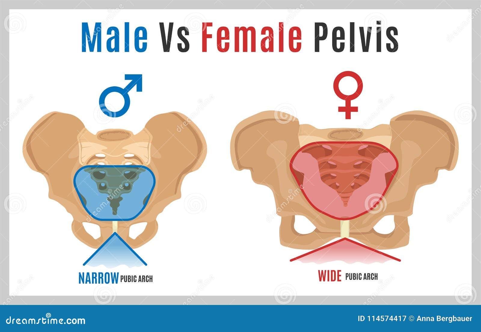Weiblicher Mann Pelvis-09 vektor abbildung. Illustration von ...