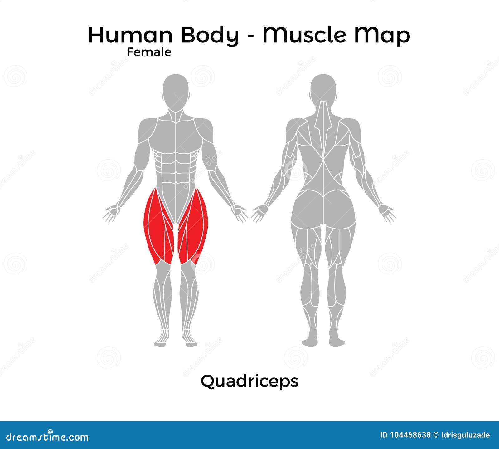 Weiblicher menschlicher Körper - mischen Sie Karte, Oberschenkelmuskel mit