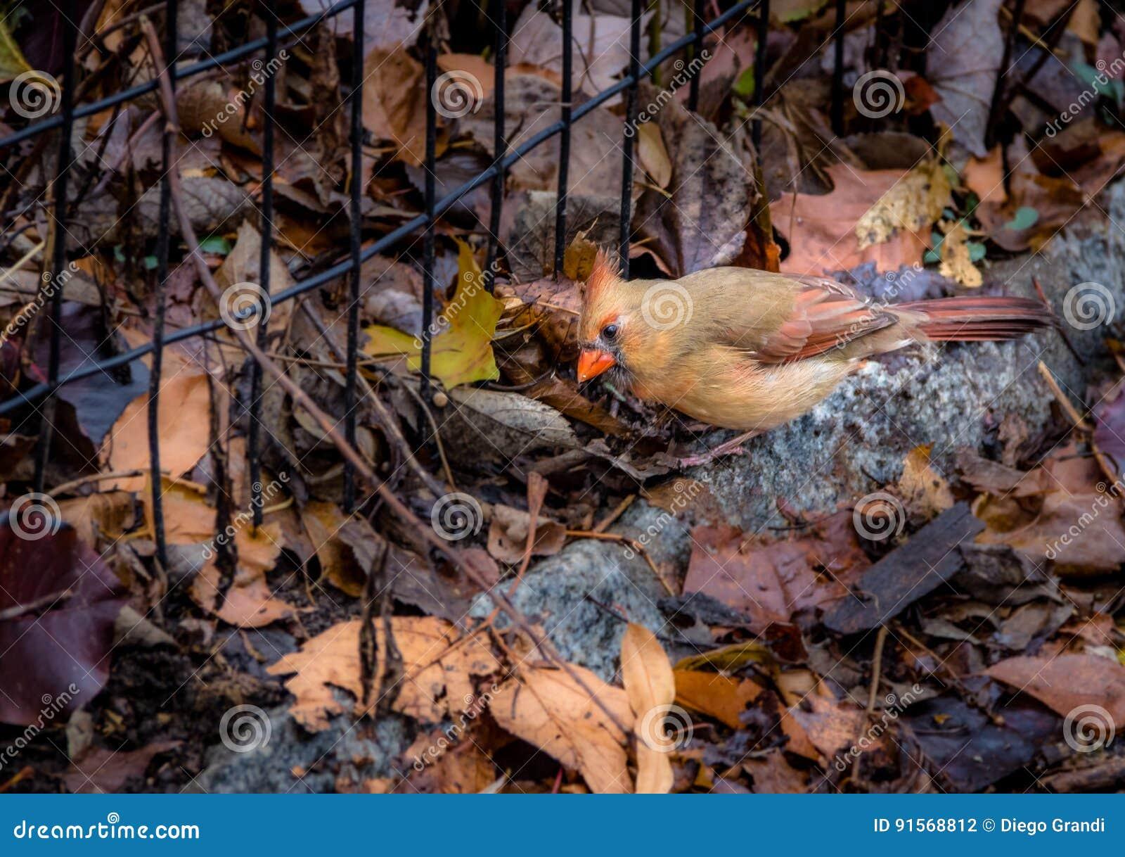Weibliches hauptsächliches Bird am Central Park - New York, USA