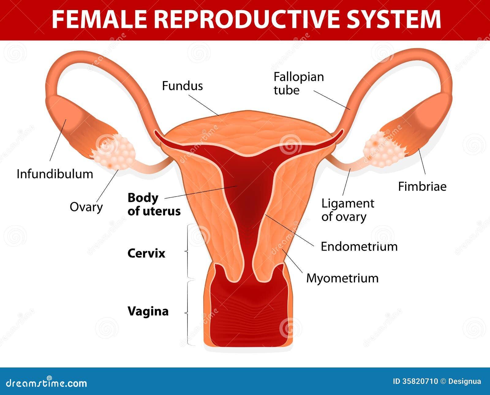Weibliches Reproduktionssystem Vektor Abbildung - Illustration von ...