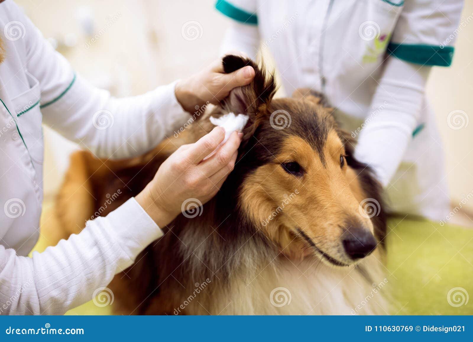 Weibliches tierärztliches Prüfungshund-` s Ohr an der Berufshaustierklinik