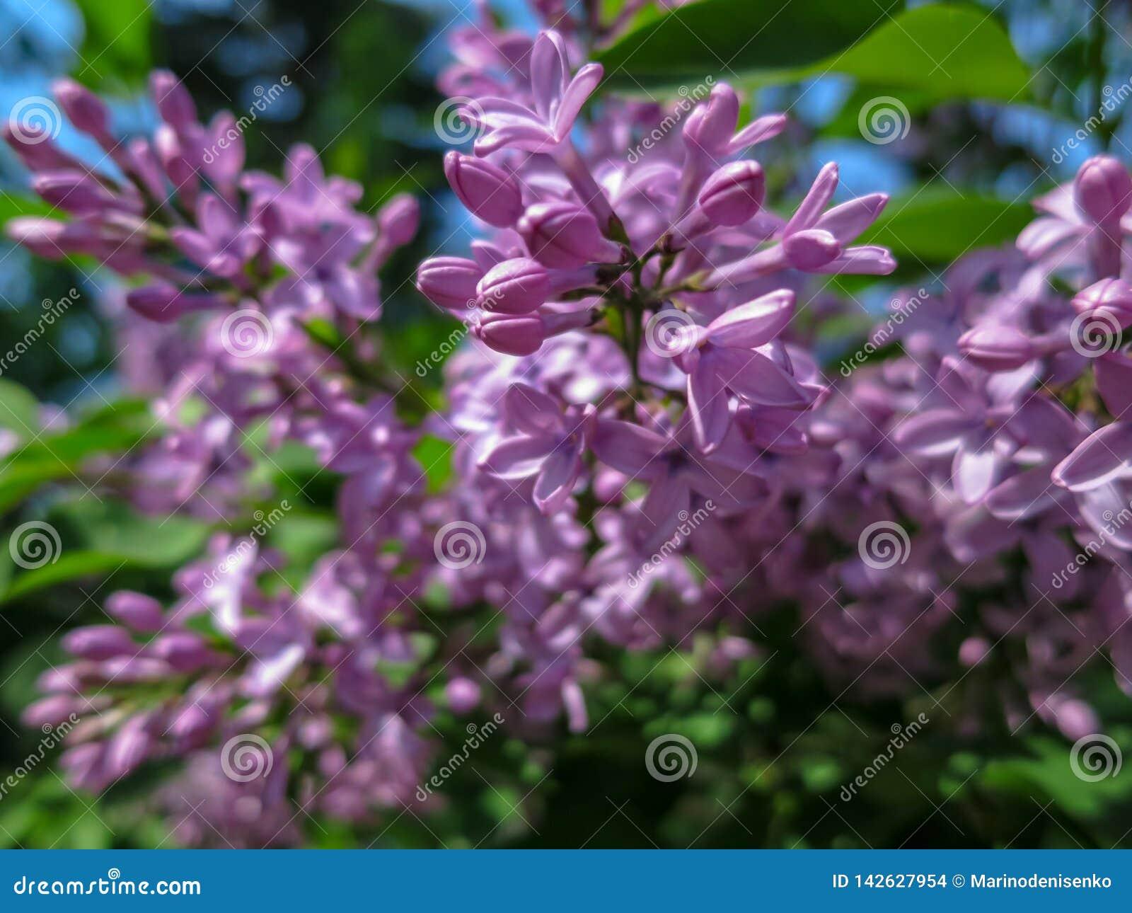 Weiche unscharfer Makrofokus von rosa lila Syringa microphylla Blumen auf unscharfem Busch Frühlingsblüte an einem sonnigen Tag