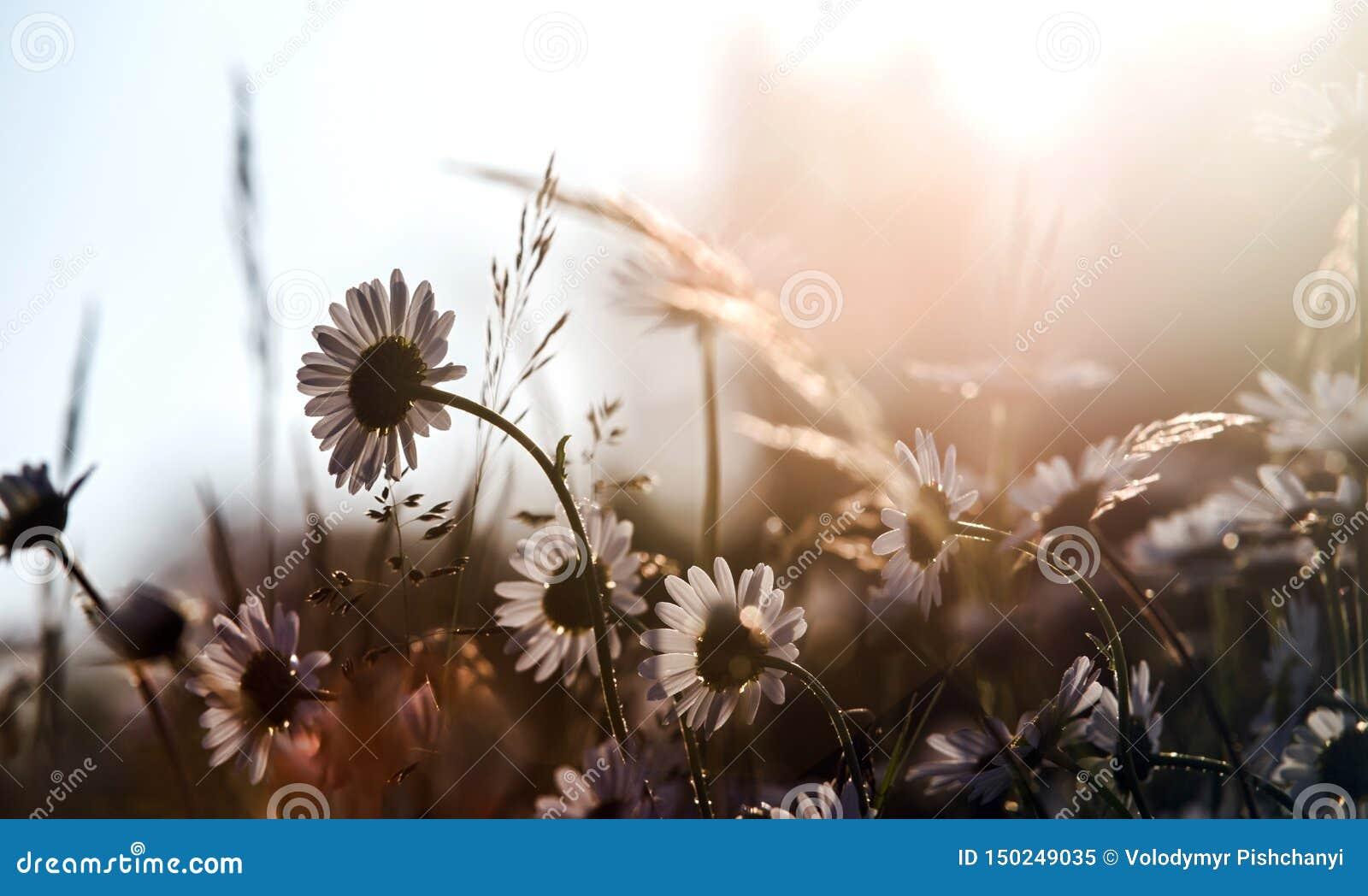 Weide met madeliefjes door helder zonlicht worden aangestoken dat