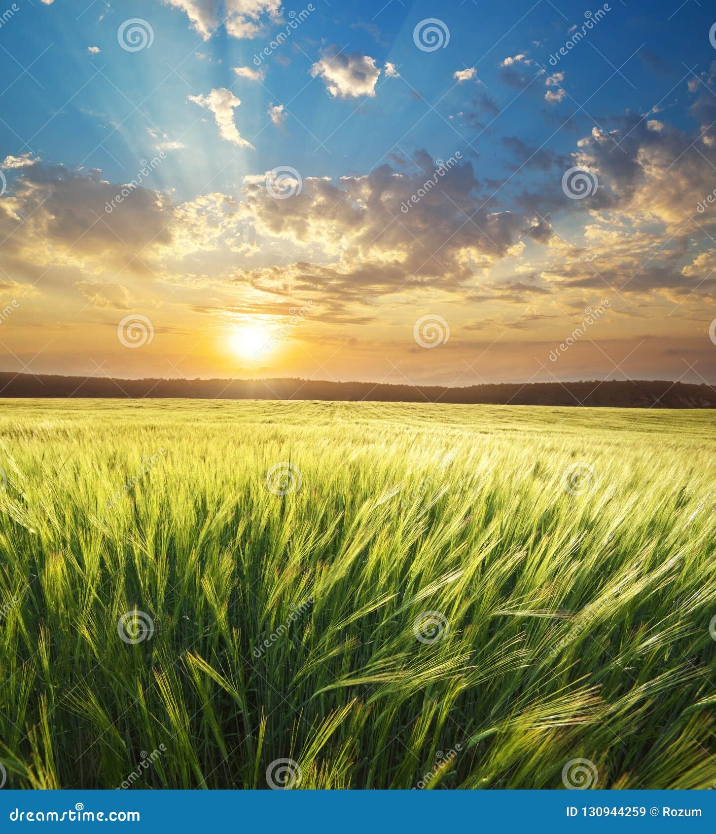 Weide van tarwe