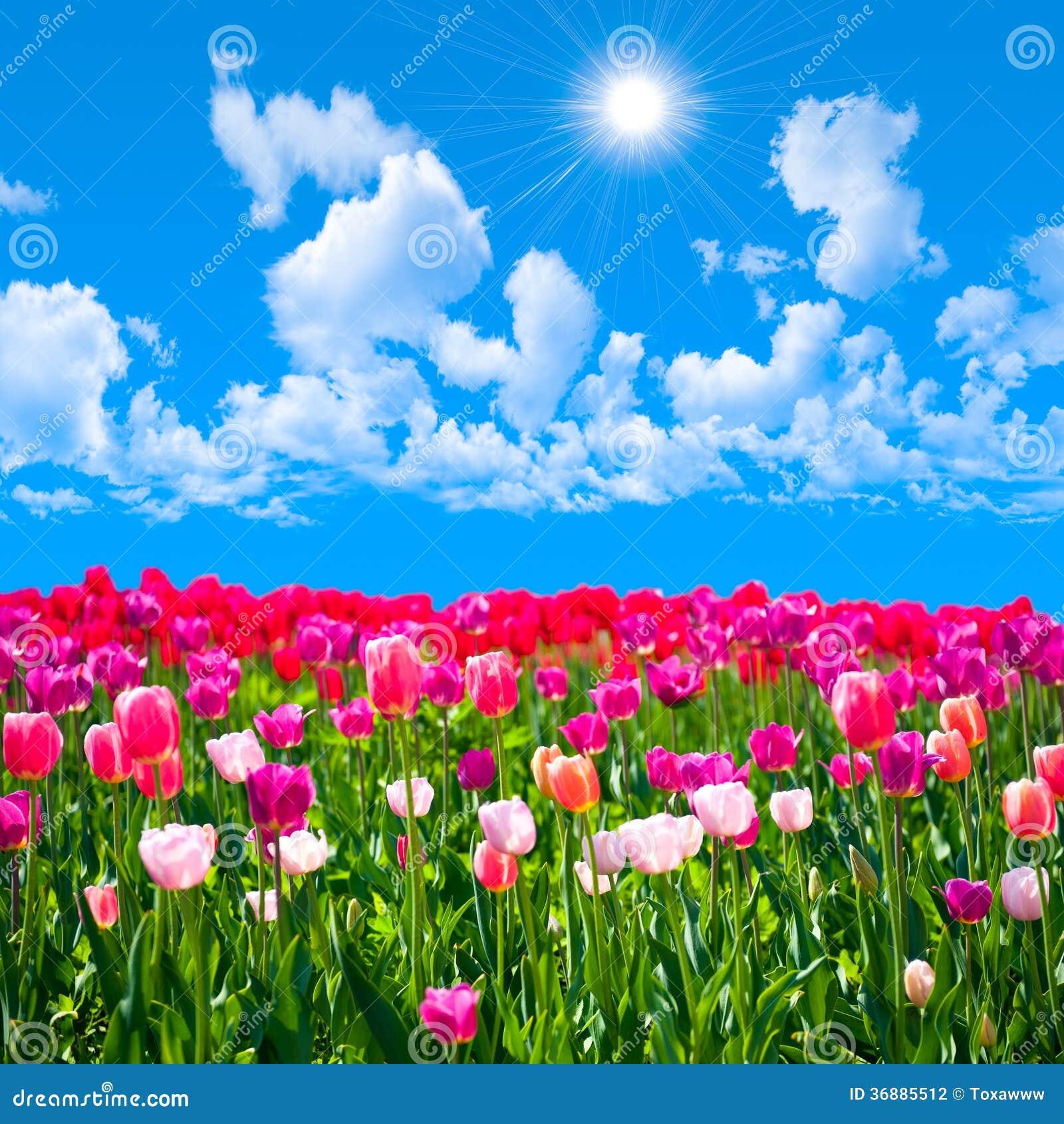 tulpen achtergrond met een - photo #22