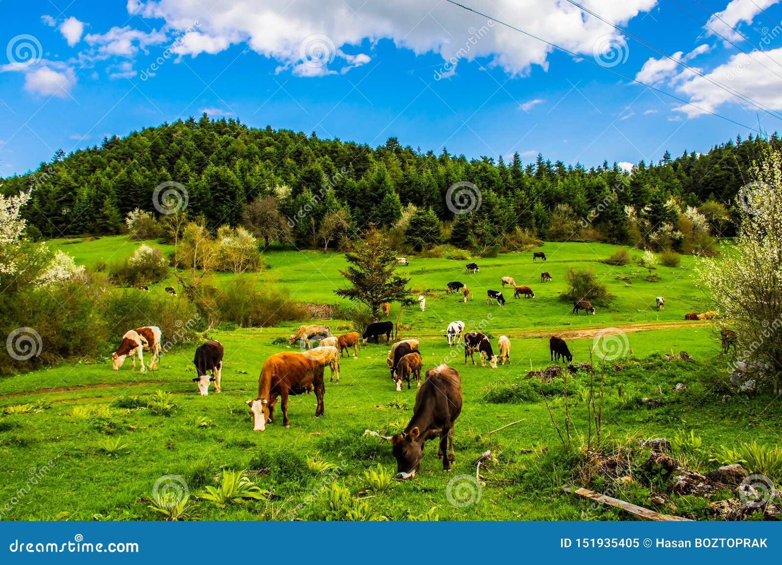 Weiden lassen von Kühen auf dem Gebiet die Türkei