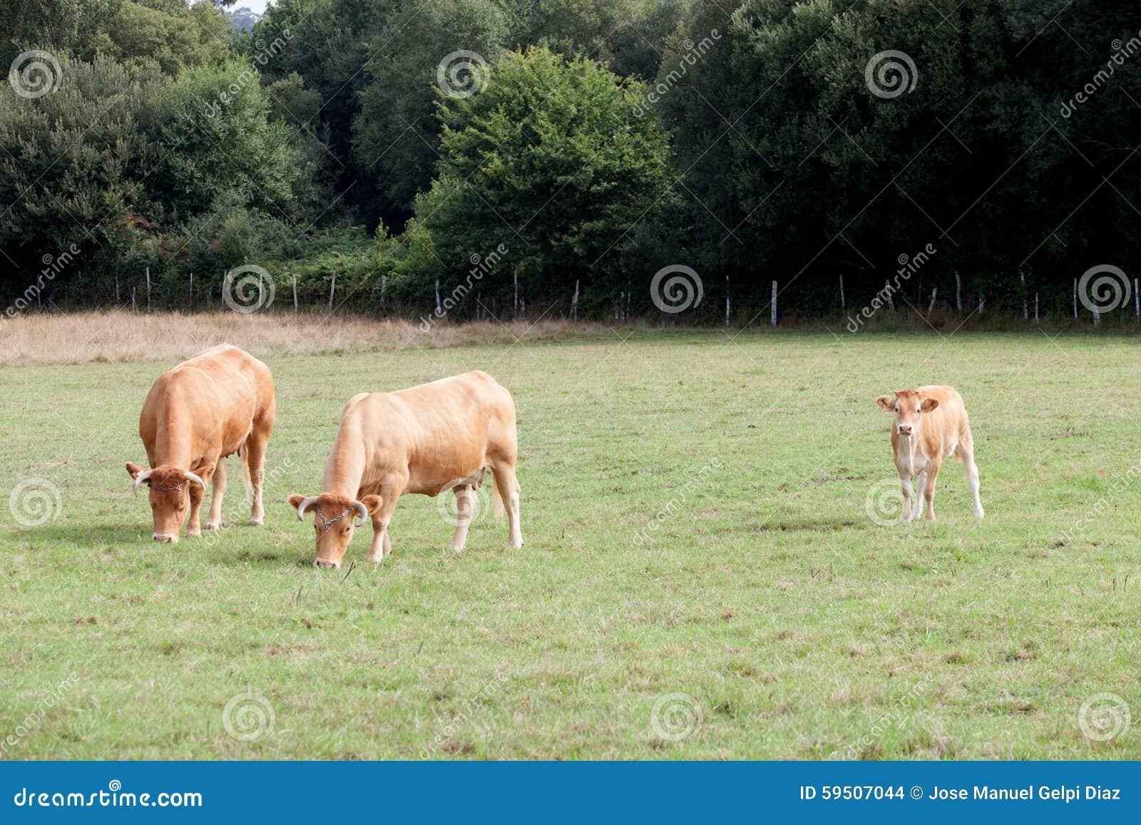 Weiden lassende Brown-Kühe