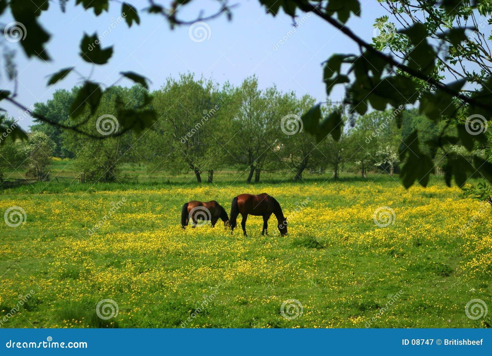 Weiden lassende Pferde