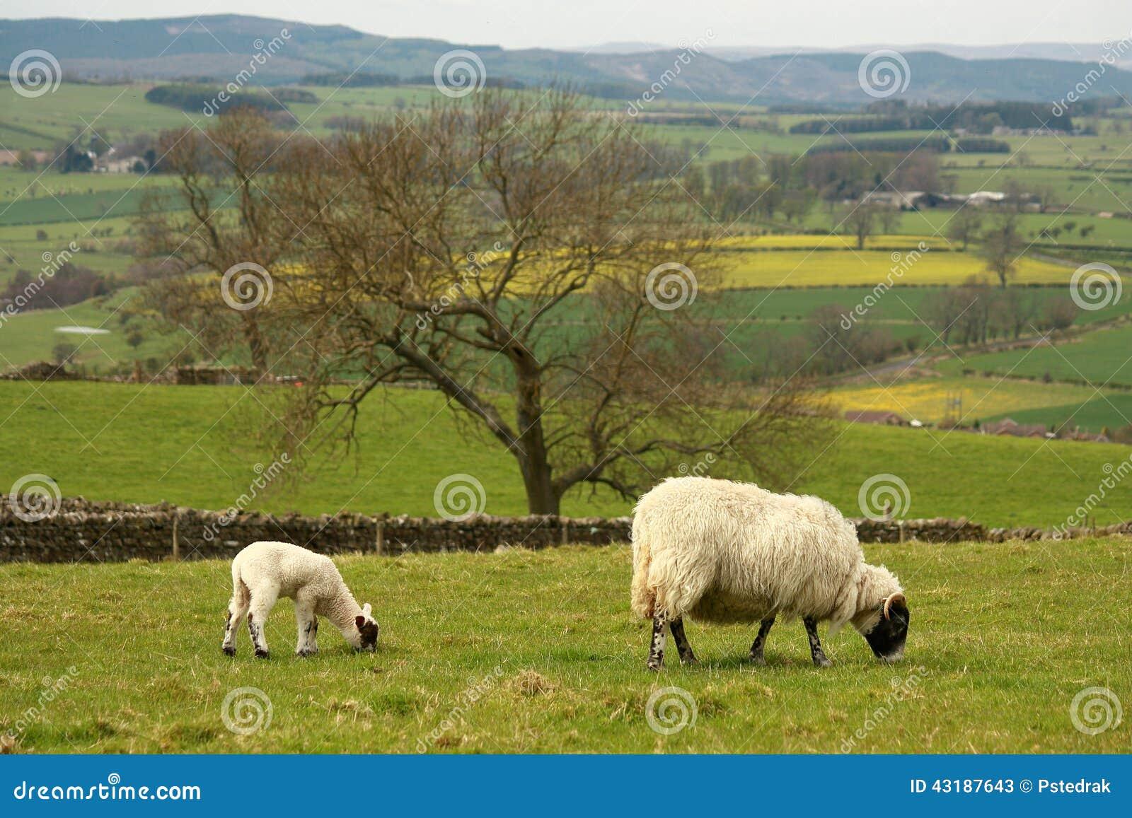 Weidende ooi met lam
