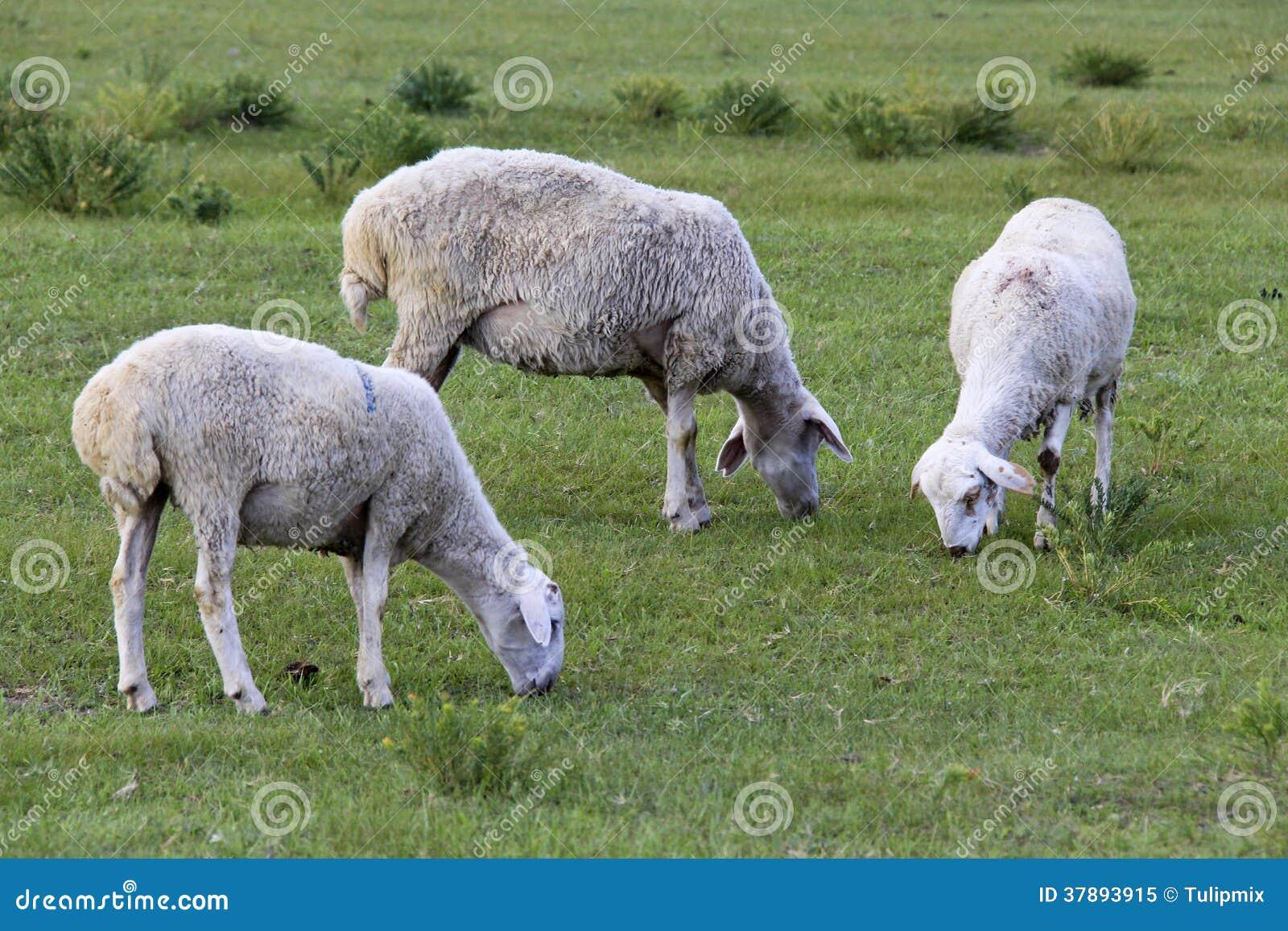 Weidende schapen