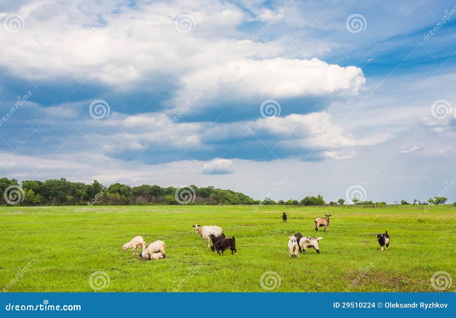 Weidende schapen en geiten