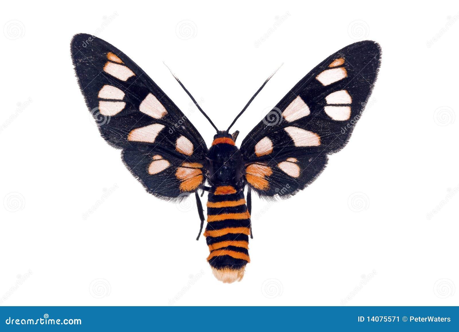 wei e antennen wespe motte amata nigriceps stockbild bild 14075571. Black Bedroom Furniture Sets. Home Design Ideas