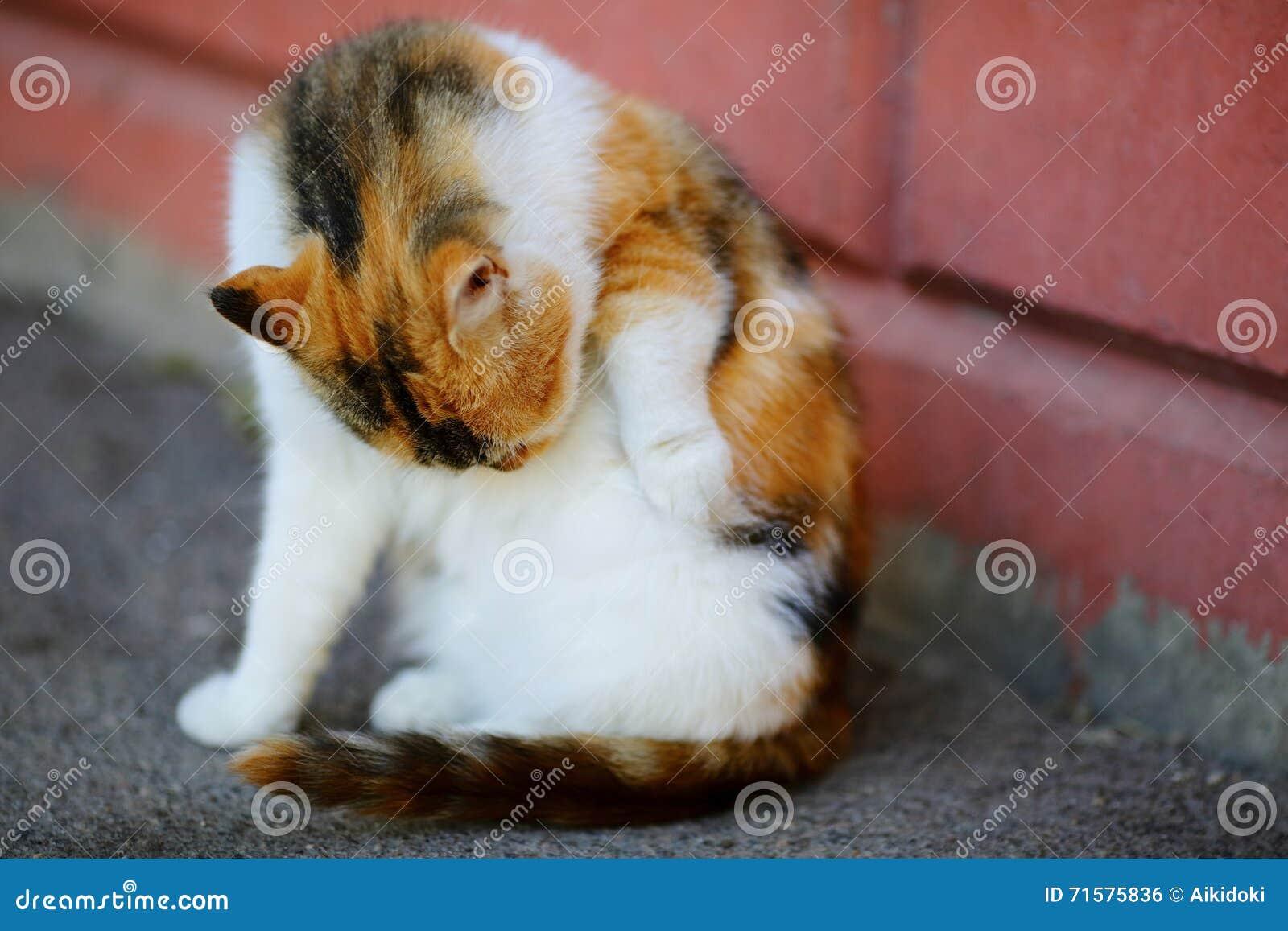 Weiße Und Rote Katze Lecken Die Wäschen Selbst, Die Nahe Wand ...