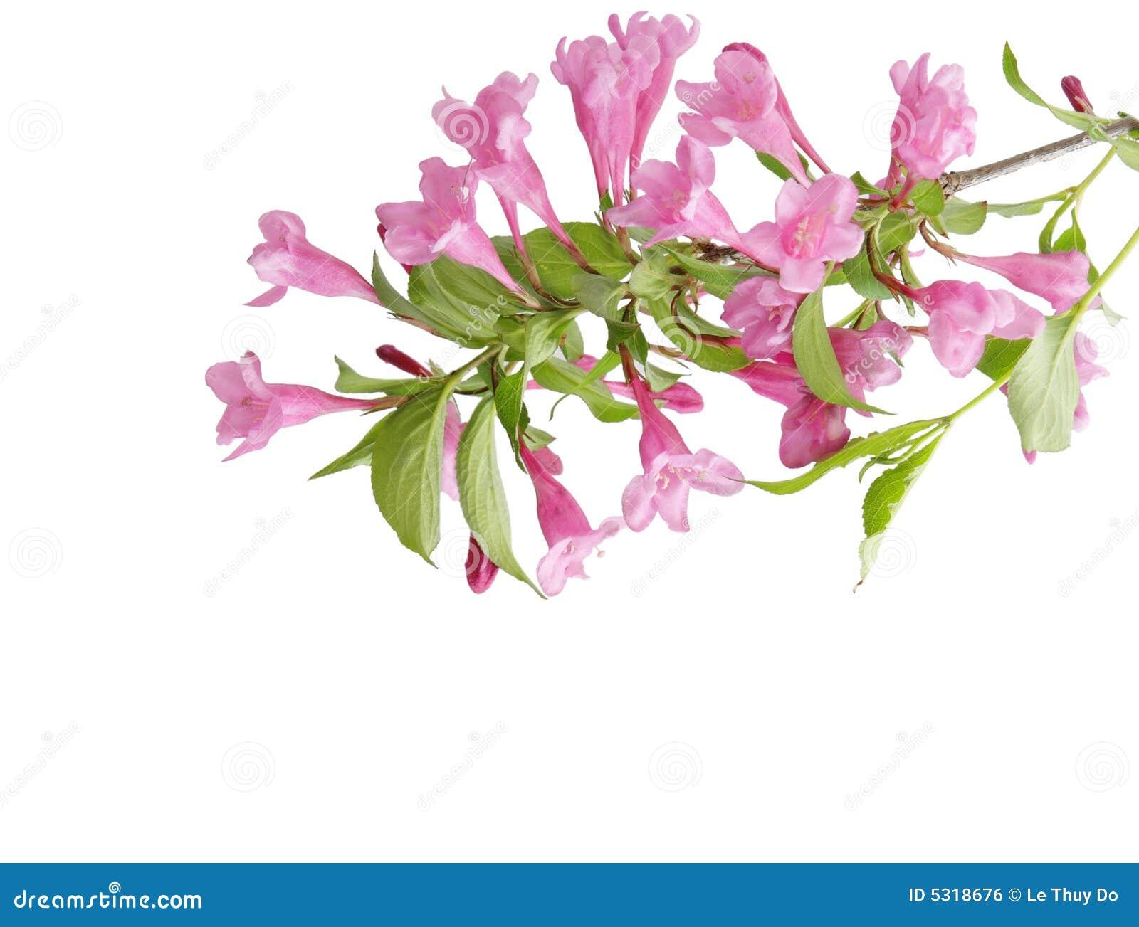 Download Weigela dentellare fotografia stock. Immagine di fiore - 5318676