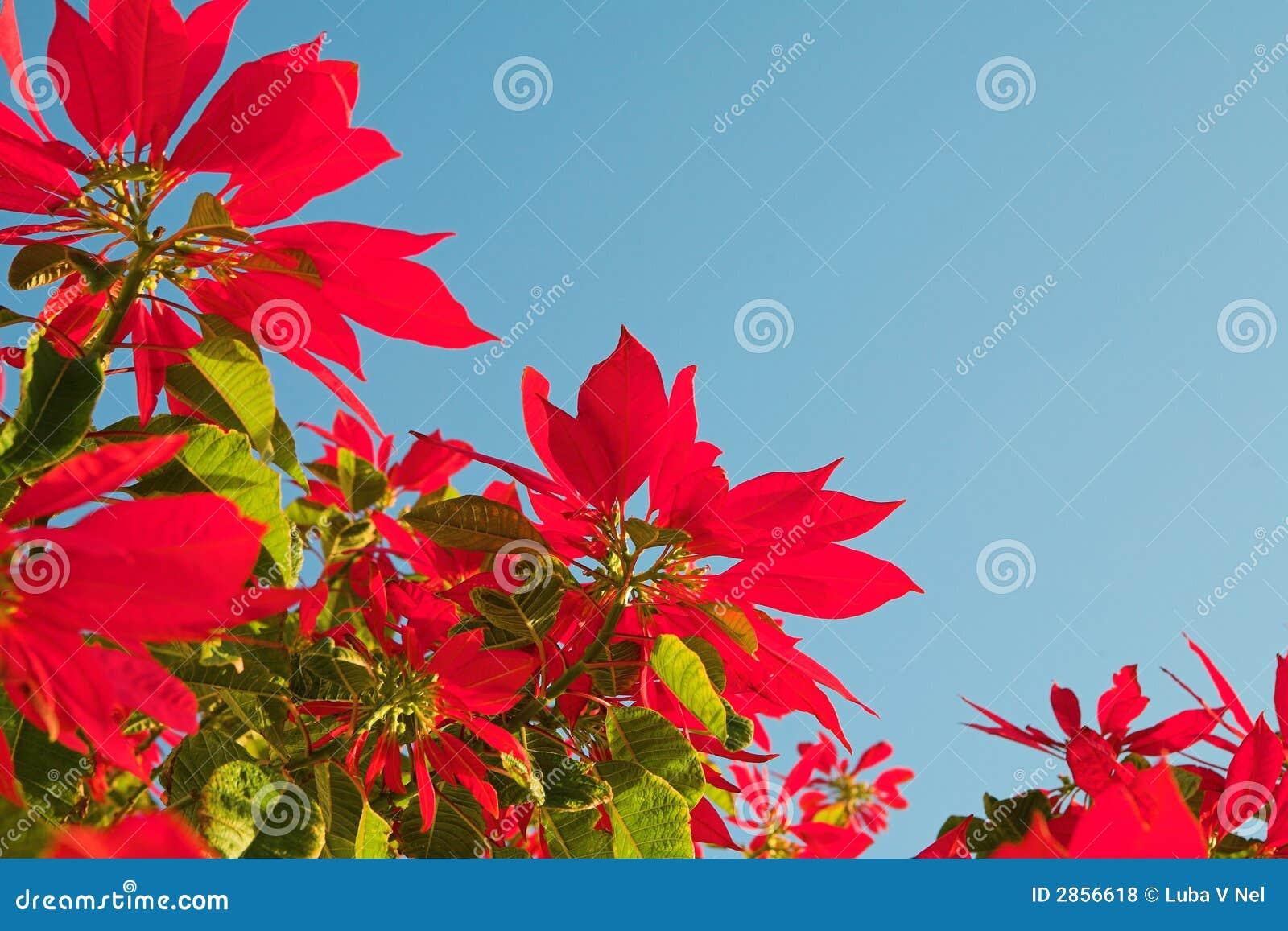 Weihnachten stieg stockfoto. Bild von blüte, auszug, farben - 2856618