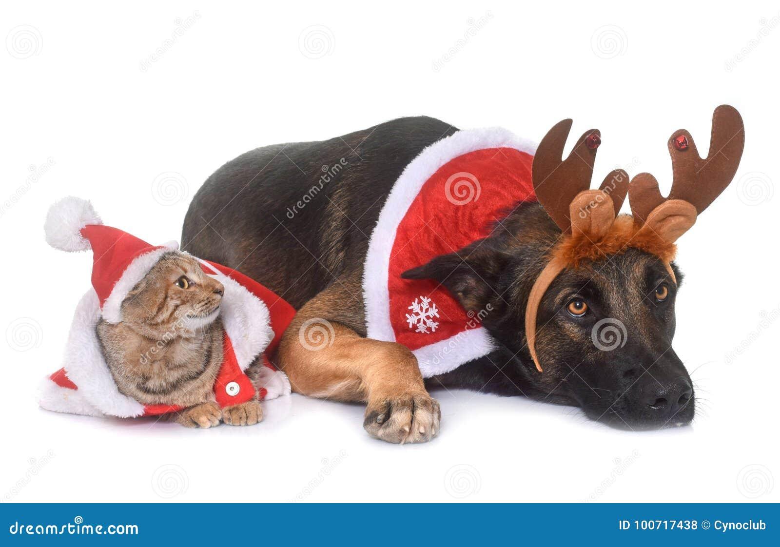 Weihnachts-malinois Und -katze Stockfoto - Bild von freunde, tier ...