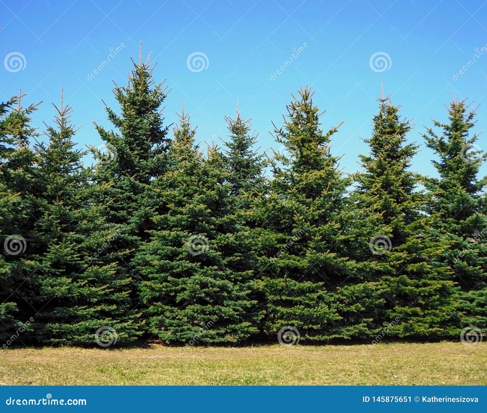 Weihnachtsbäume, die im Park wachsen