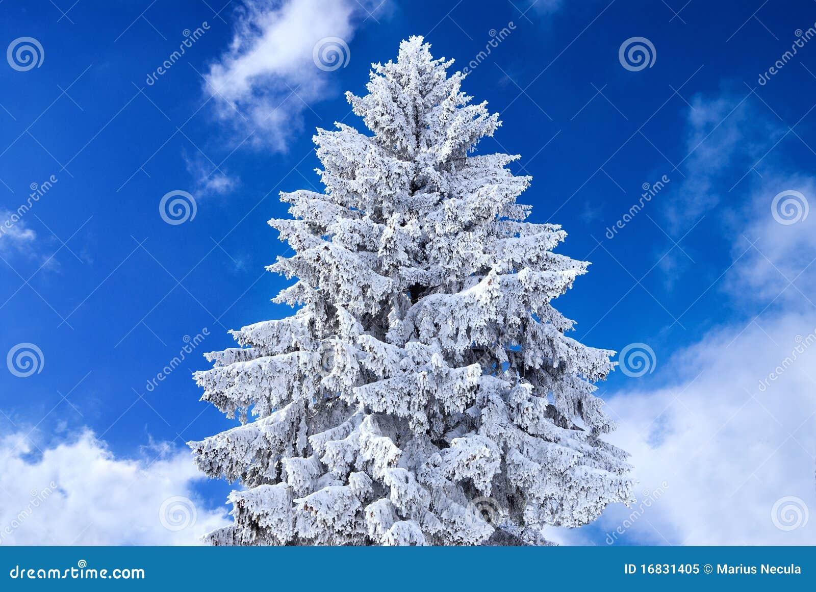 weihnachtsbaum abgedeckt im schnee lizenzfreies stockfoto. Black Bedroom Furniture Sets. Home Design Ideas