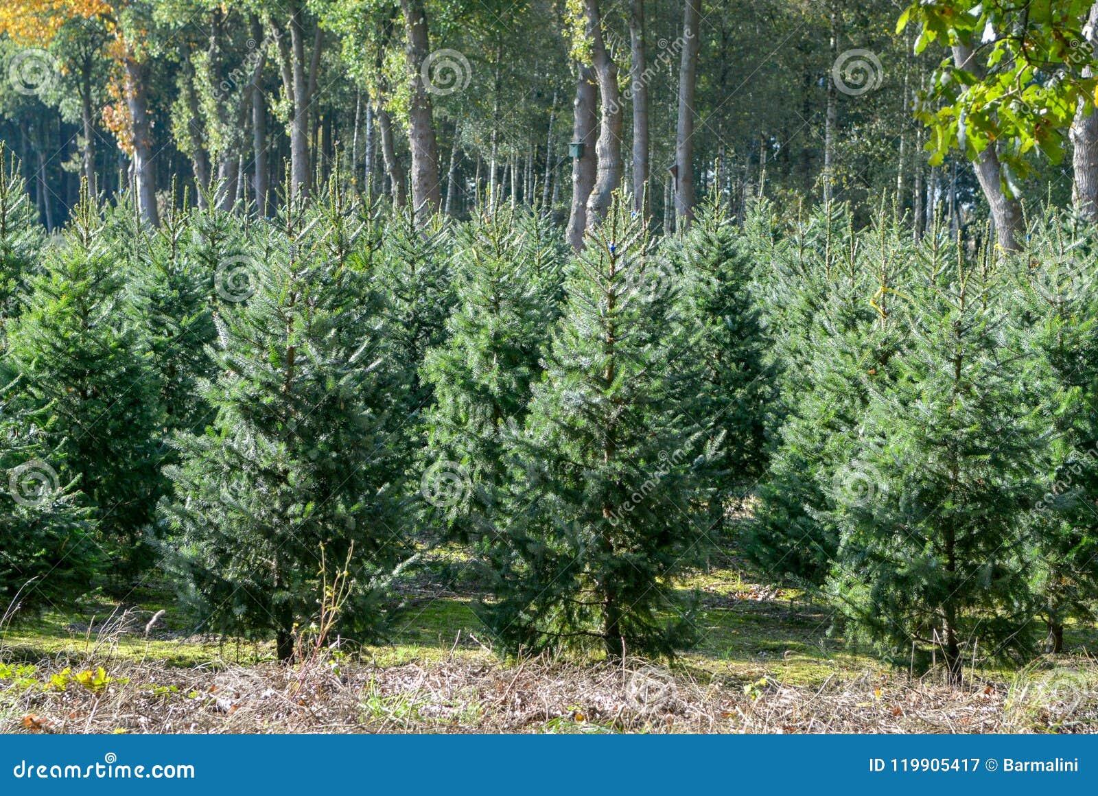 Weihnachtsbaumkultur In Den Niederlanden, Nordmann Tanne Bereit ...