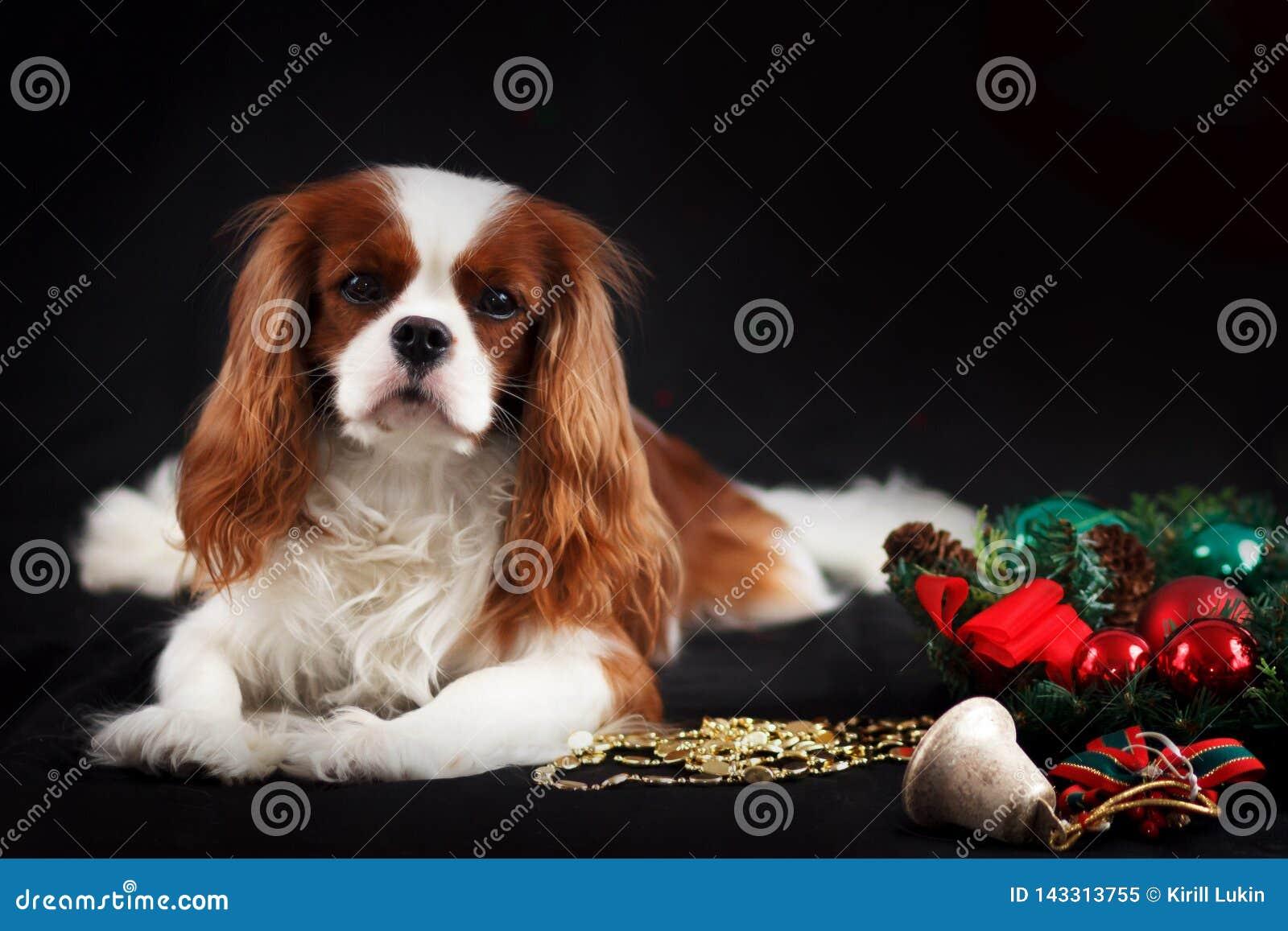 Weihnachtsfoto unbekümmerten Spaniels Königs Charles auf schwarzem Hintergrund