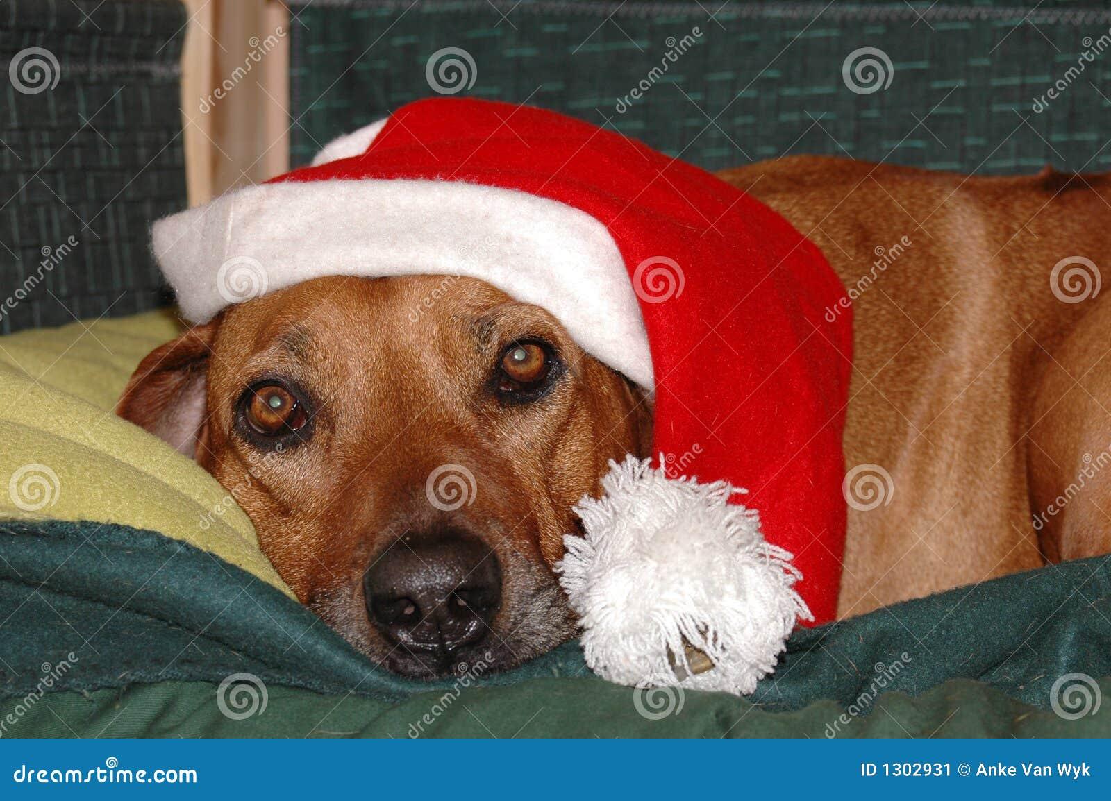 Weihnachtshund stockbild. Bild von nett, geschenk, expect - 1302931