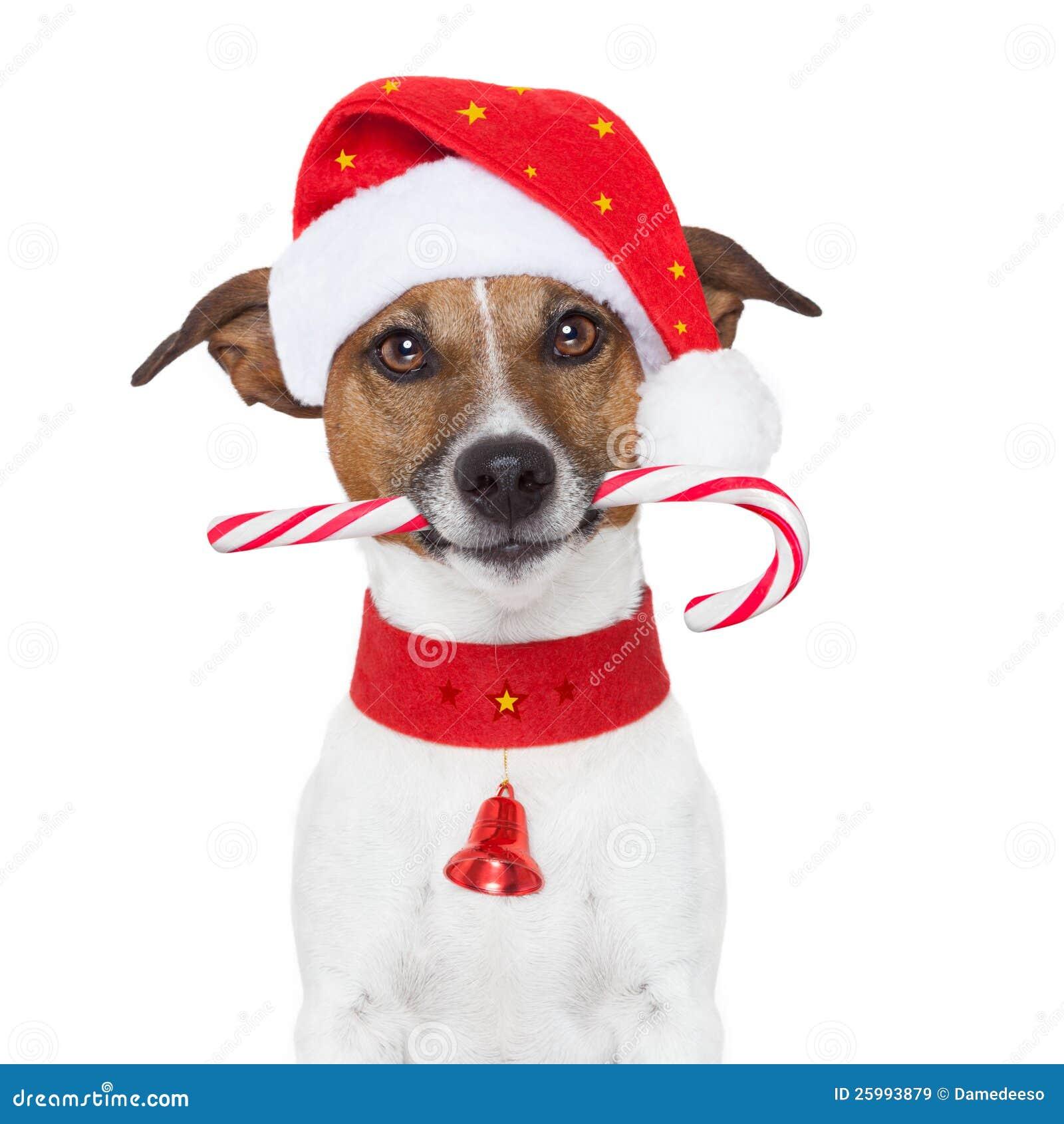 Weihnachtshund stockbild. Bild von pelz, lustig, kostüm - 25993879