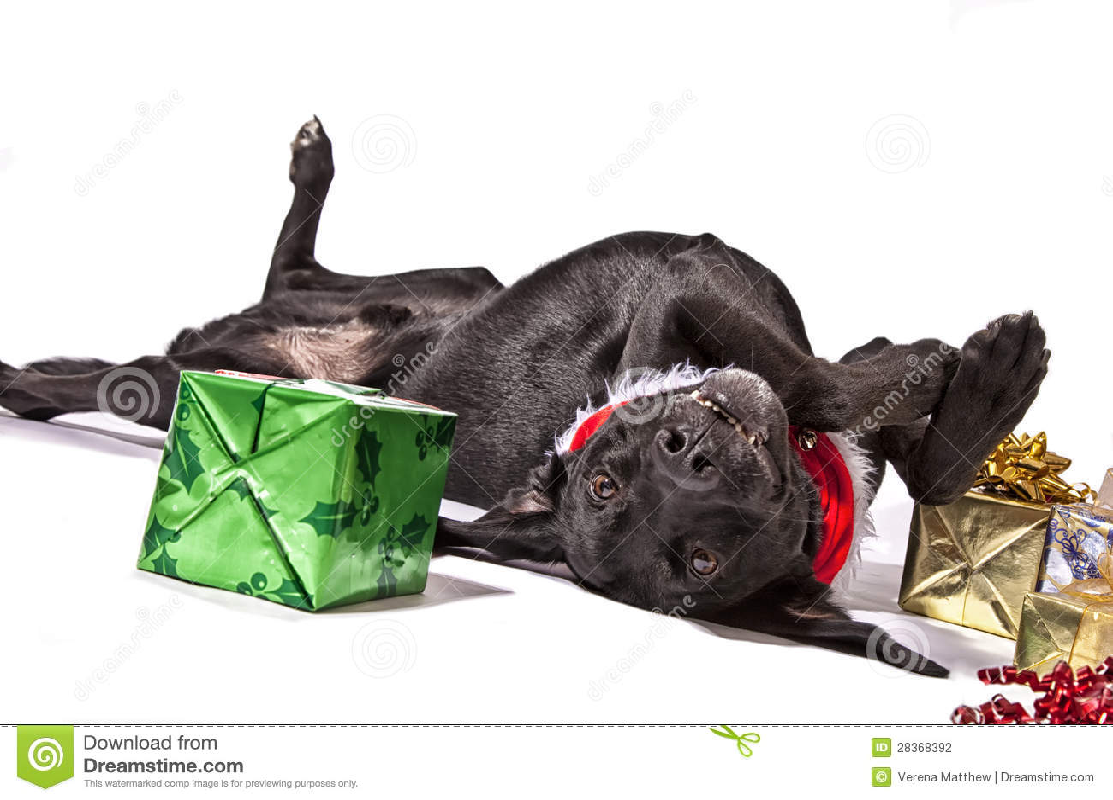 Weihnachtshund stockfoto. Bild von labrador, oberseite - 28368392