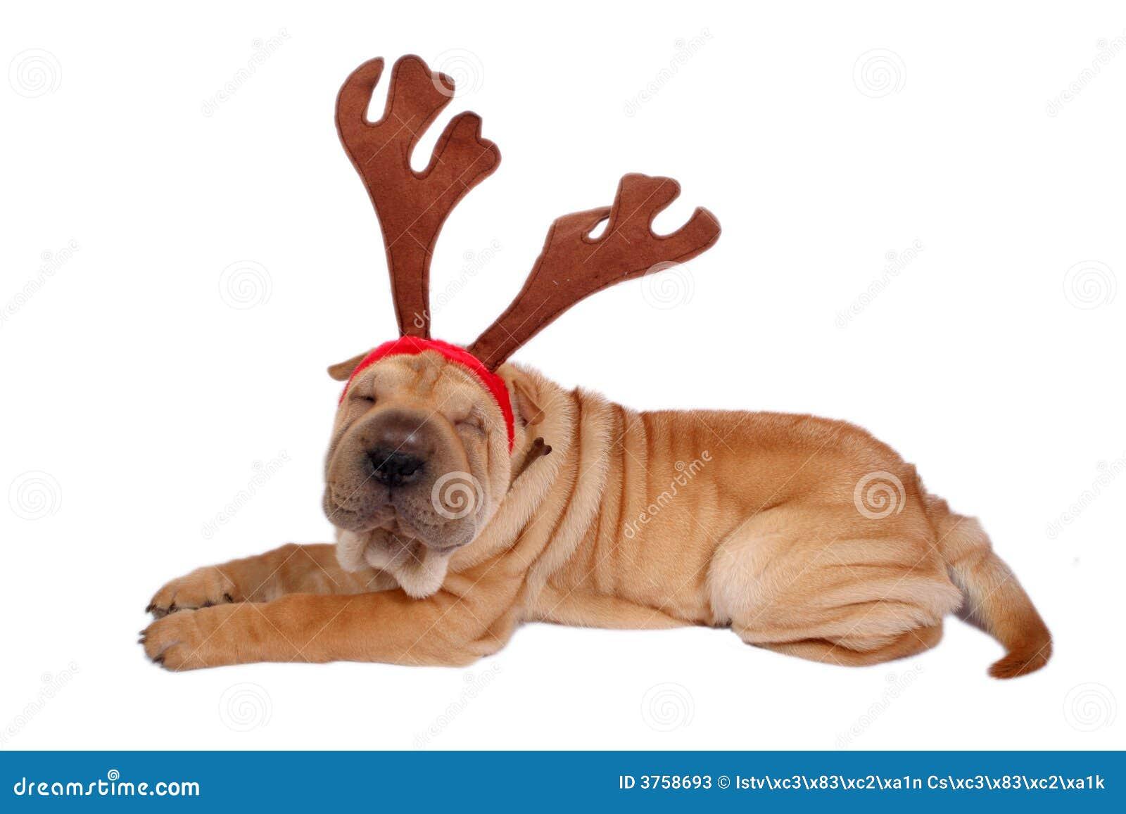 Weihnachtshund stockbild. Bild von welpe, geschenke, lustig - 3758693