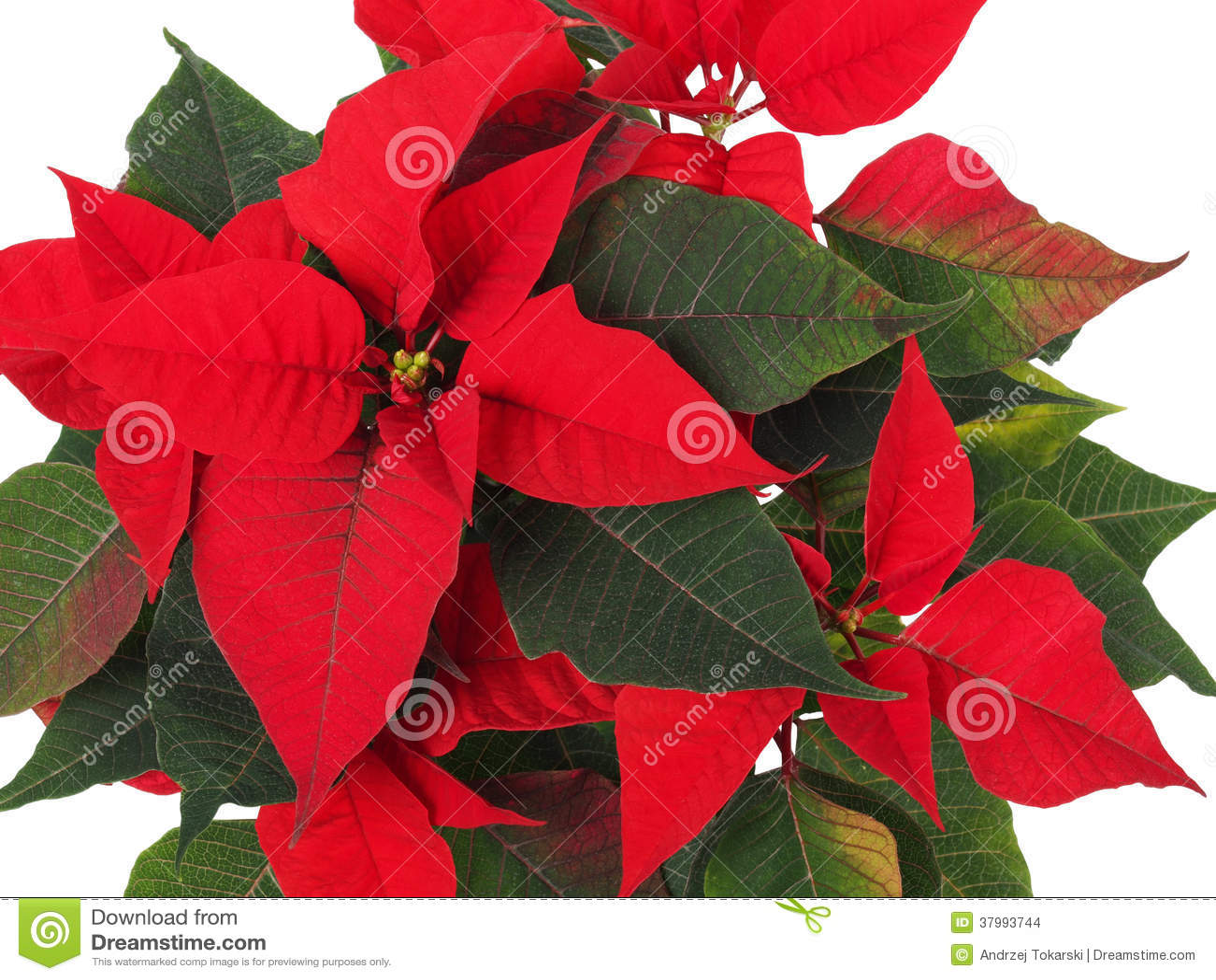 weihnachtsstern blume poinsettia stockbilder bild 37993744. Black Bedroom Furniture Sets. Home Design Ideas