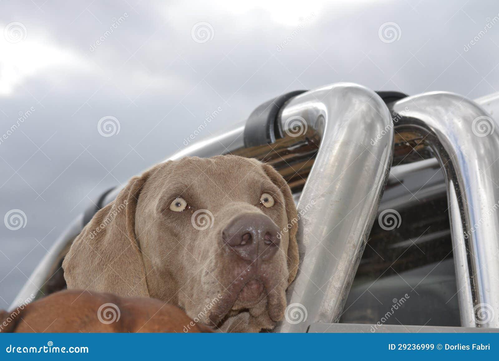 Download Weimaraner imagem de stock. Imagem de africano, cão, forte - 29236999