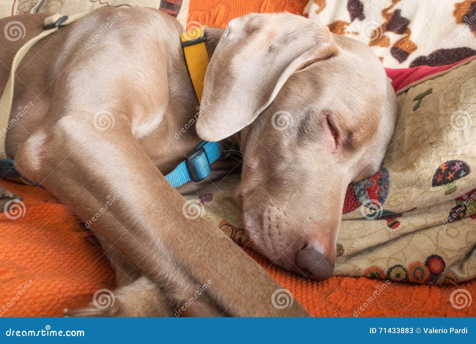 Weimaraner dog breed stock image  Image of canine, funny - 71433883