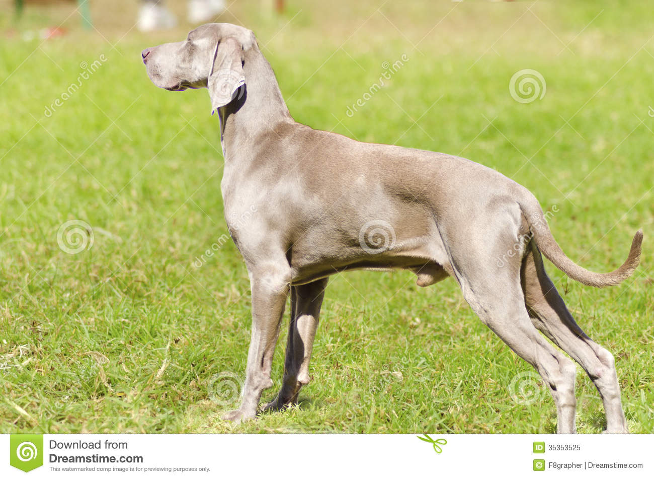 Gray Ghost Dog Pictures