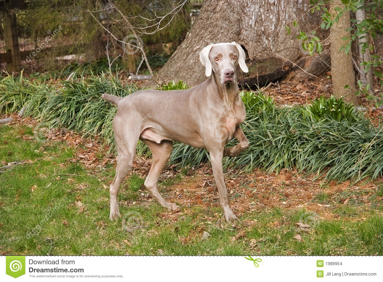 Weimaraner Pointing stock photo. Image of brown, pretty ...